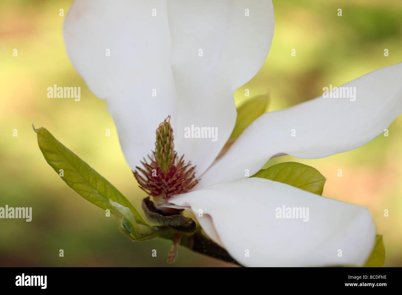 Belle fleur de magnolia tépales forme perdre fine art photography Photographie Jane Ann Butler JABP444 Photo Stock