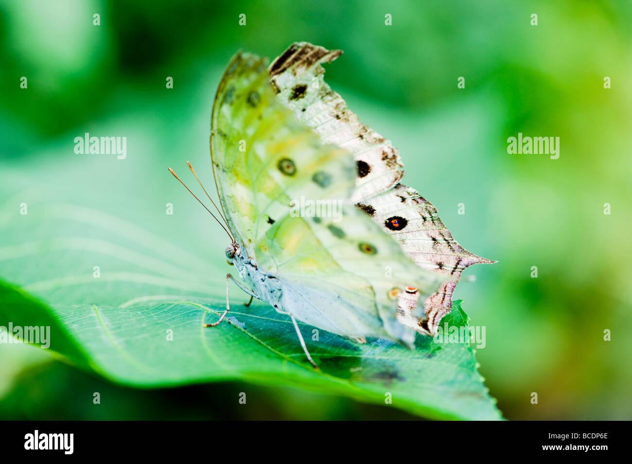 Papillon de lune indienne (lat. actias selene) avec un fond vert se concentre sur l'oeil Banque D'Images