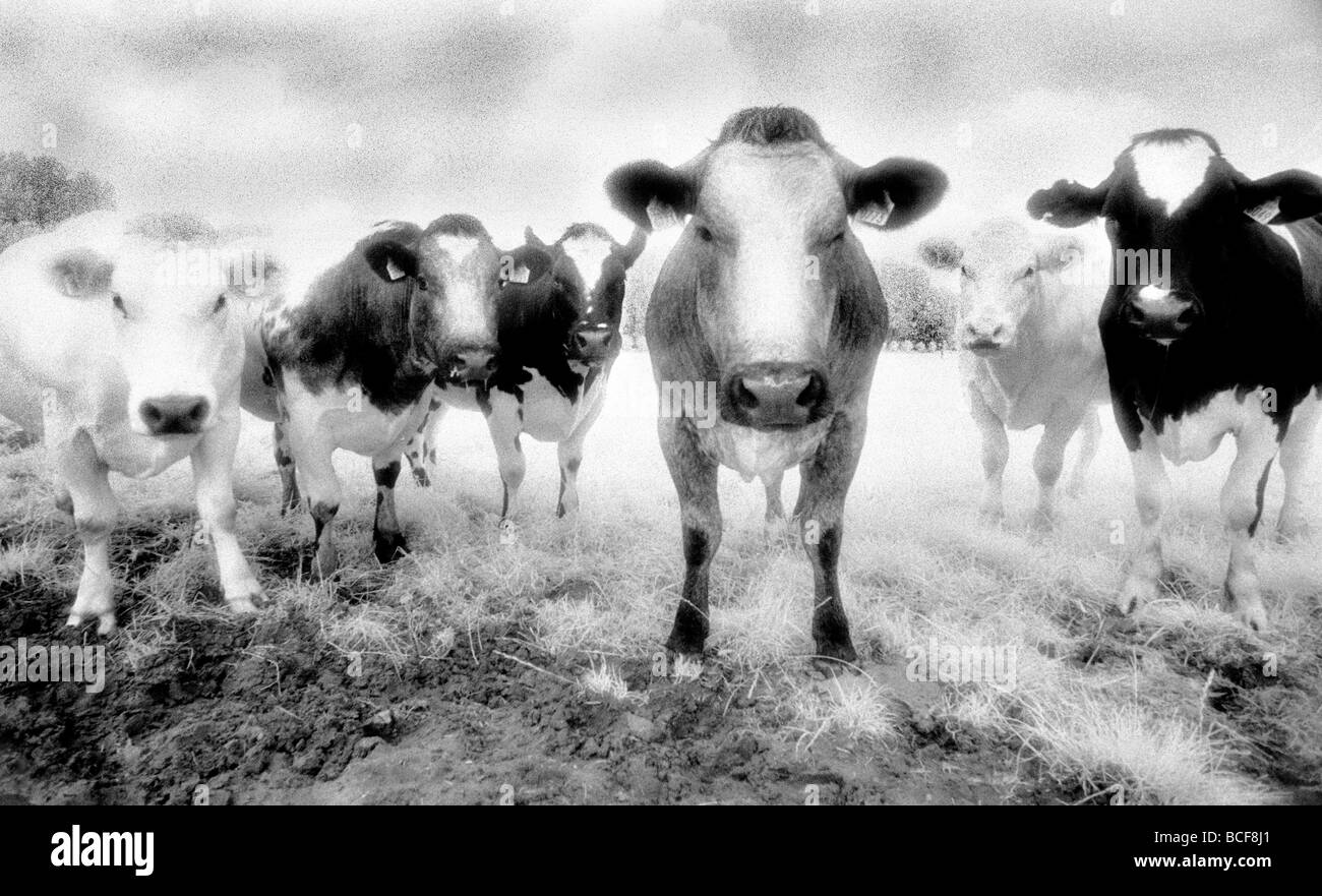 Six vaches regardant fixement tourné sur Kodak Film infrarouge connu pour des grains et numérisée Photo Stock