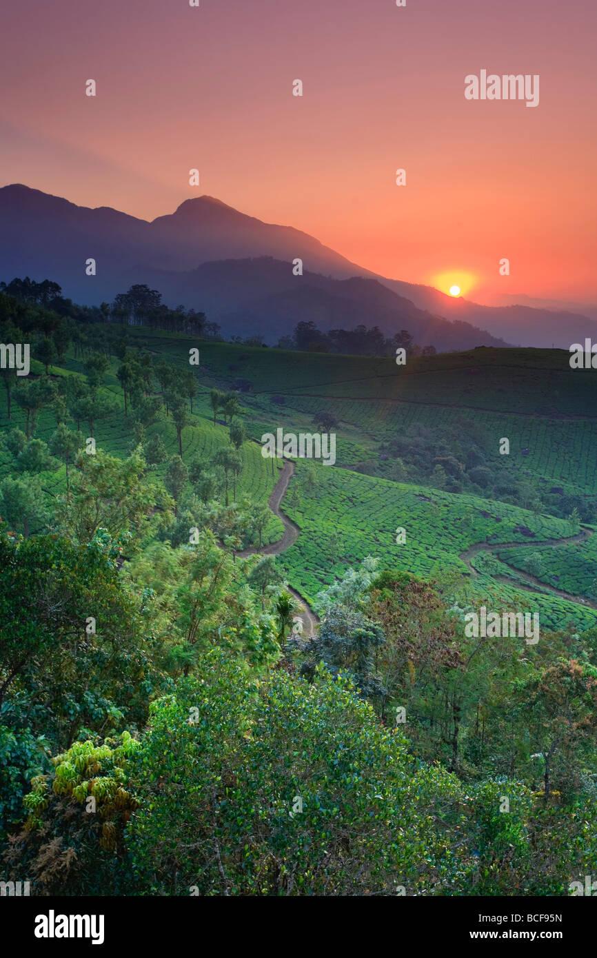 Les plantations de thé, Munnar, Western Ghats, Kerala, Inde Photo Stock