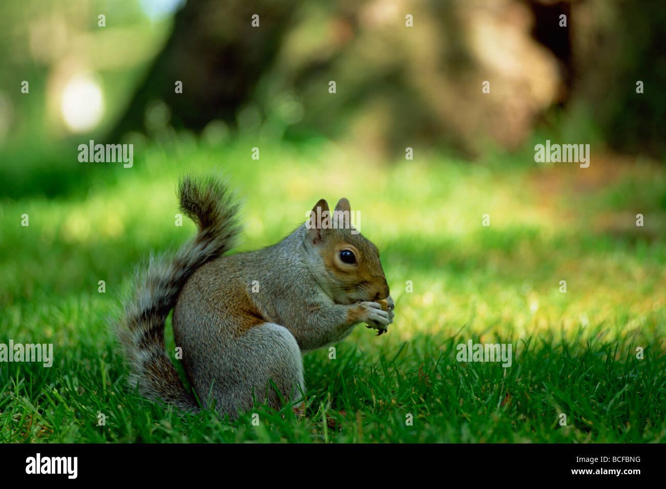 L'Angleterre, Londres, St James Park, l'Écureuil gris Photo Stock
