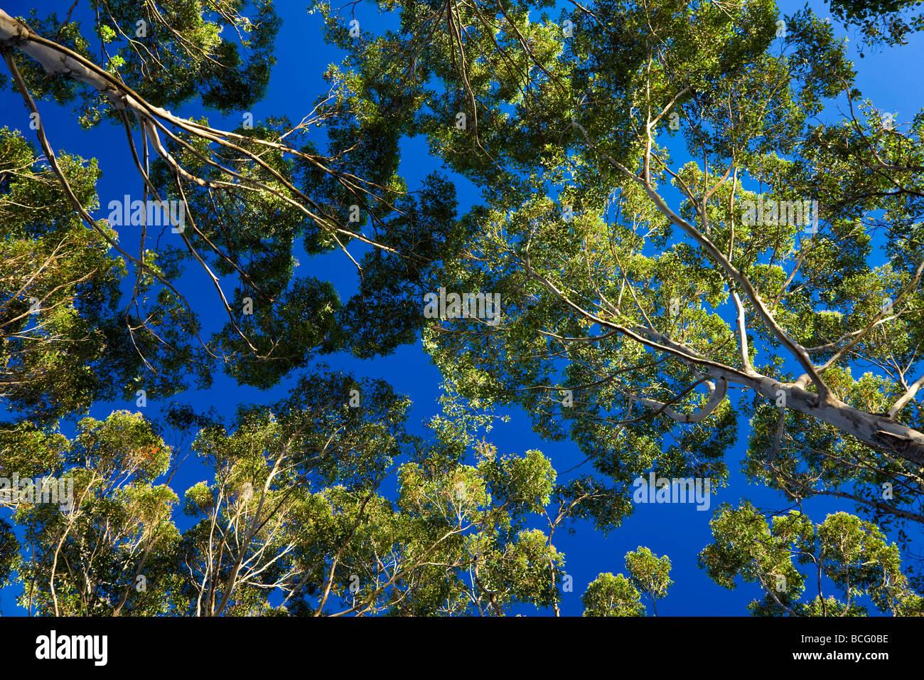 Arbres Karri nr Danemark Australie Occidentale Australie Photo Stock