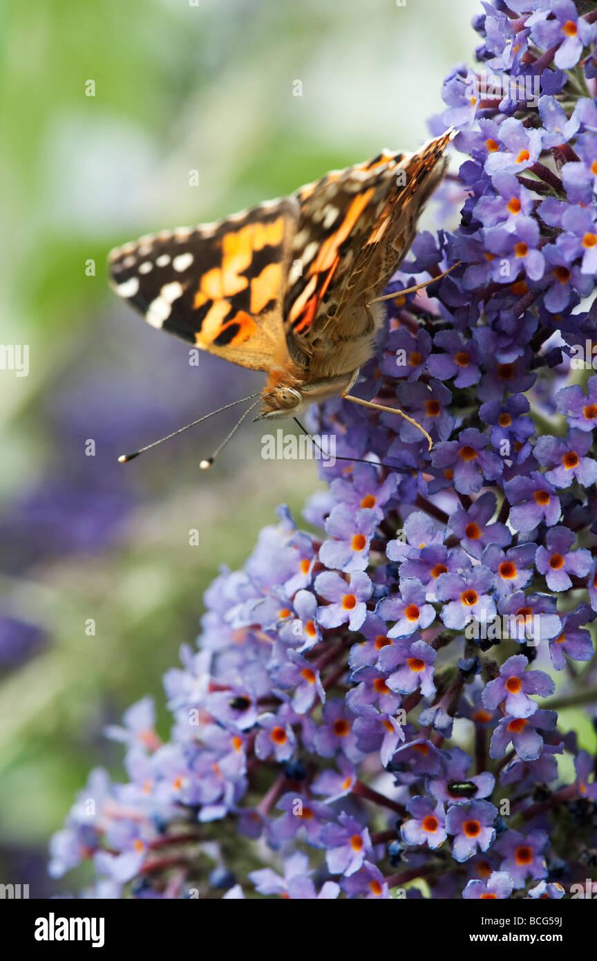 Vanessa cardui. Papillon belle dame se nourrissant de buddleja dans un jardin anglais Photo Stock