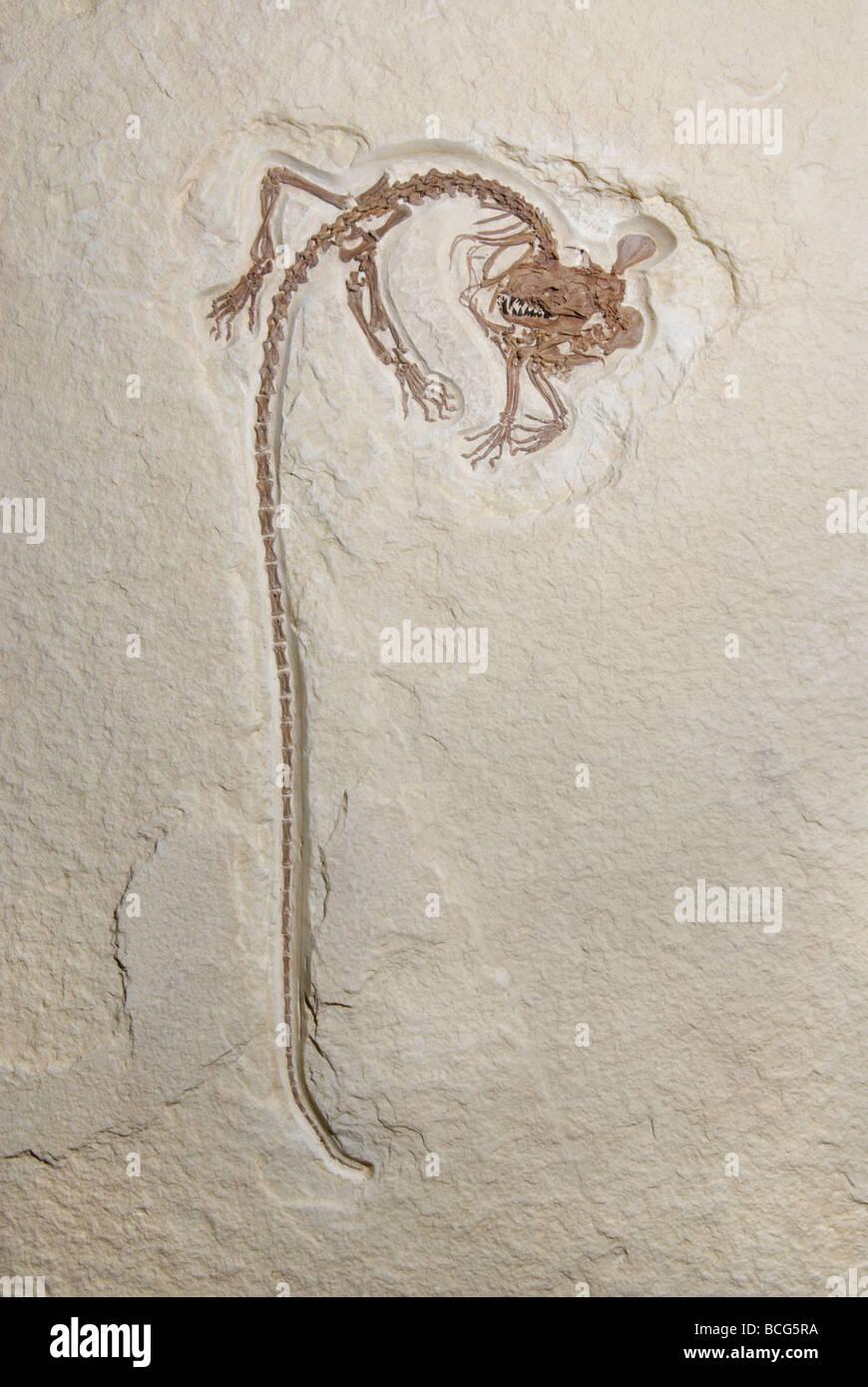 Cast d'un mammifère de l'ordre éteint Creodonta qui vivait à l'Éocène Banque D'Images
