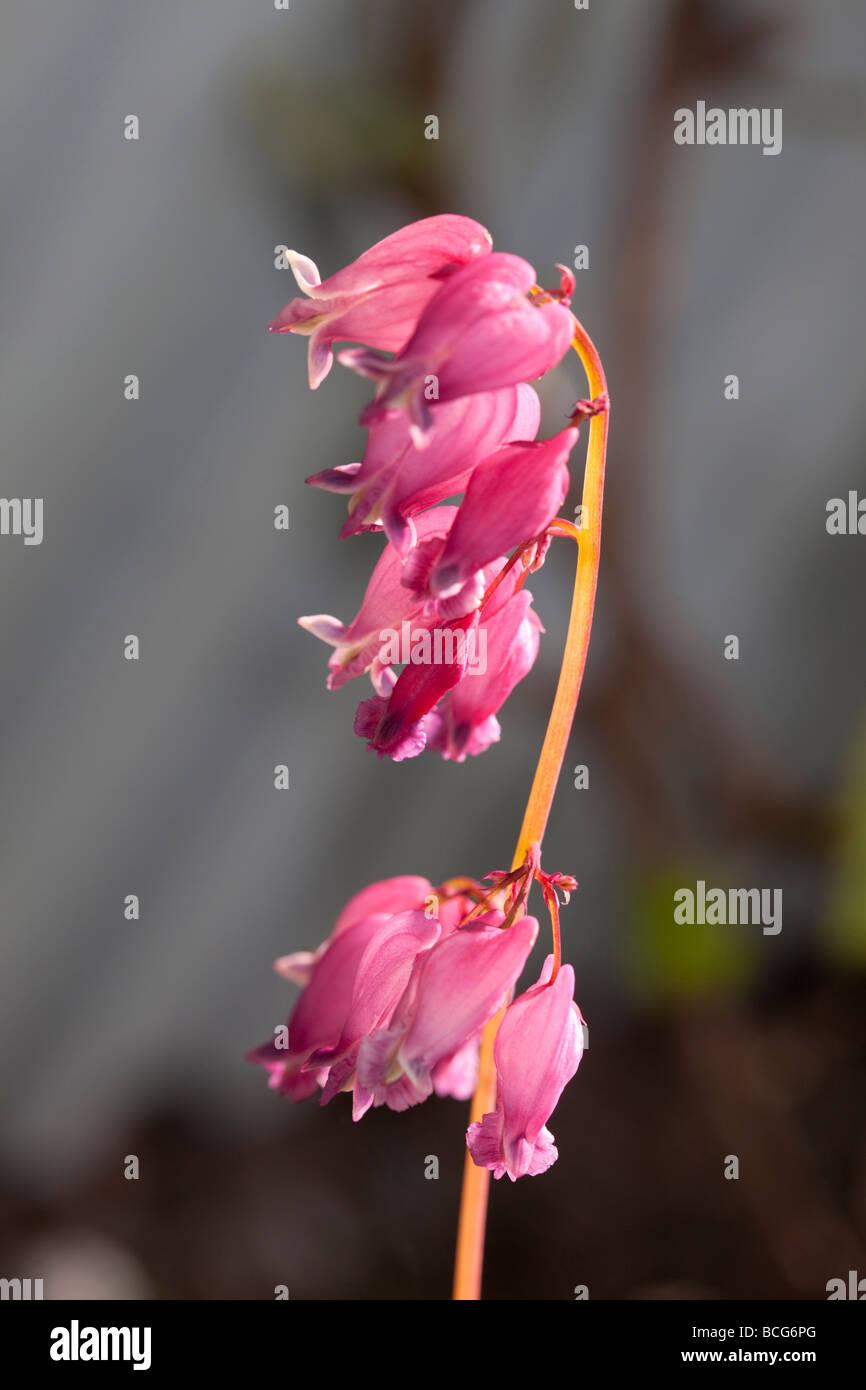 """Bleeding Heart """"nain"""" luxuriante (Dicentra formosa) Photo Stock"""