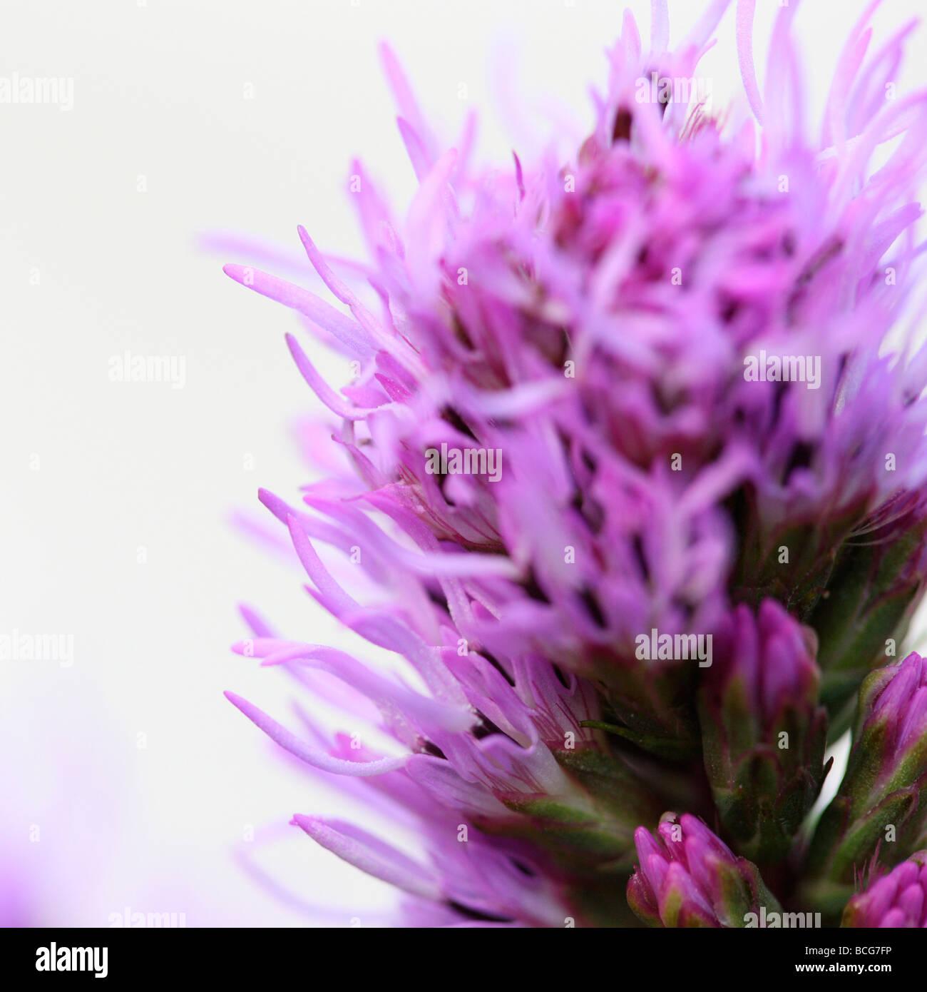 Liatris sur blanc fine art photography Photographie Jane Ann Butler JABP415 Photo Stock