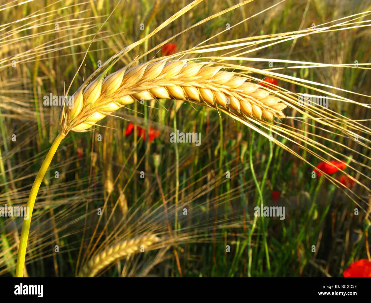 Champ de blé de la Garrotxa Gérone Catalogne Espagne Photo Stock