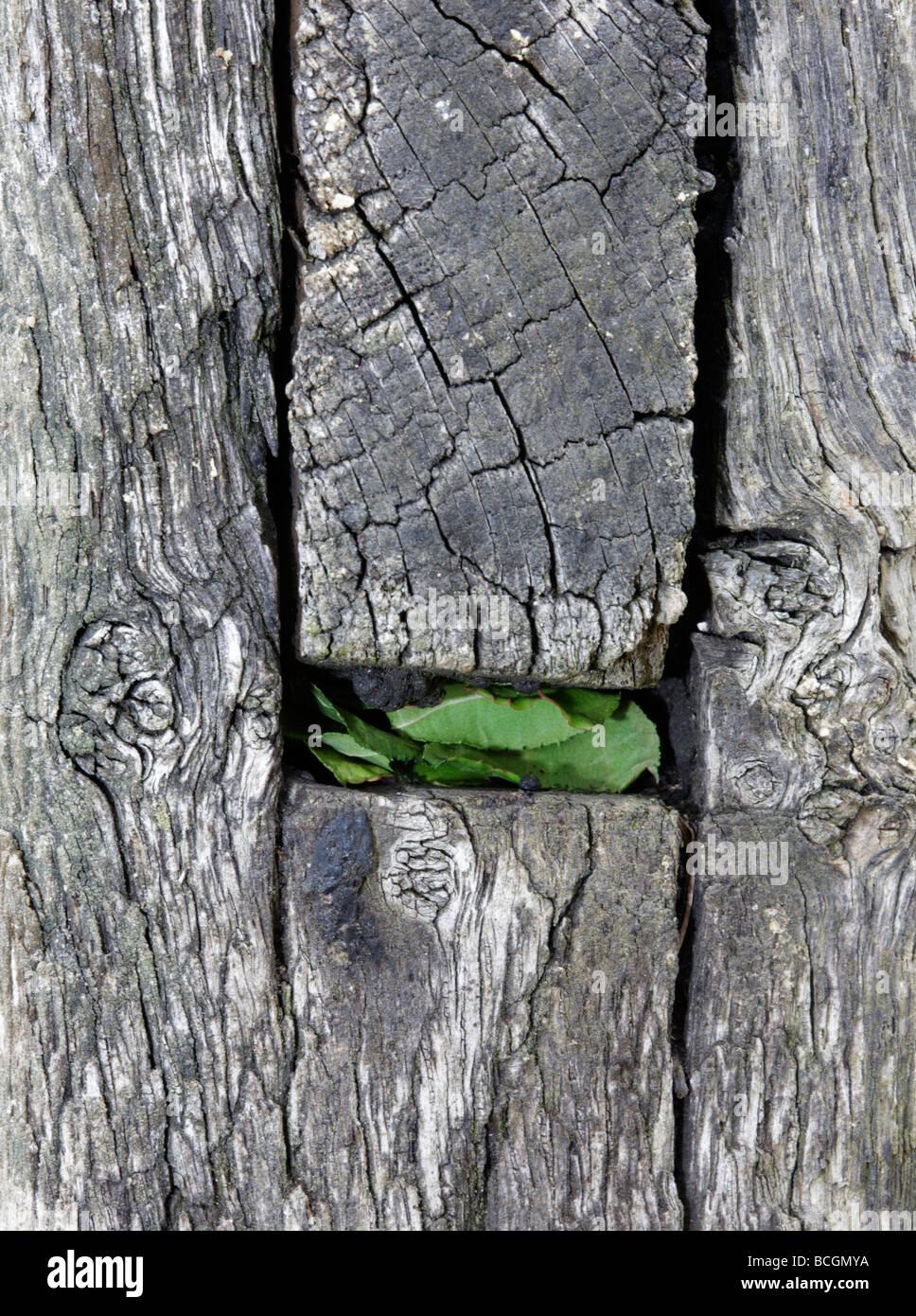Megachile centuncularis nid d'abeilles coupeuses de feuilles scellé Photo Stock