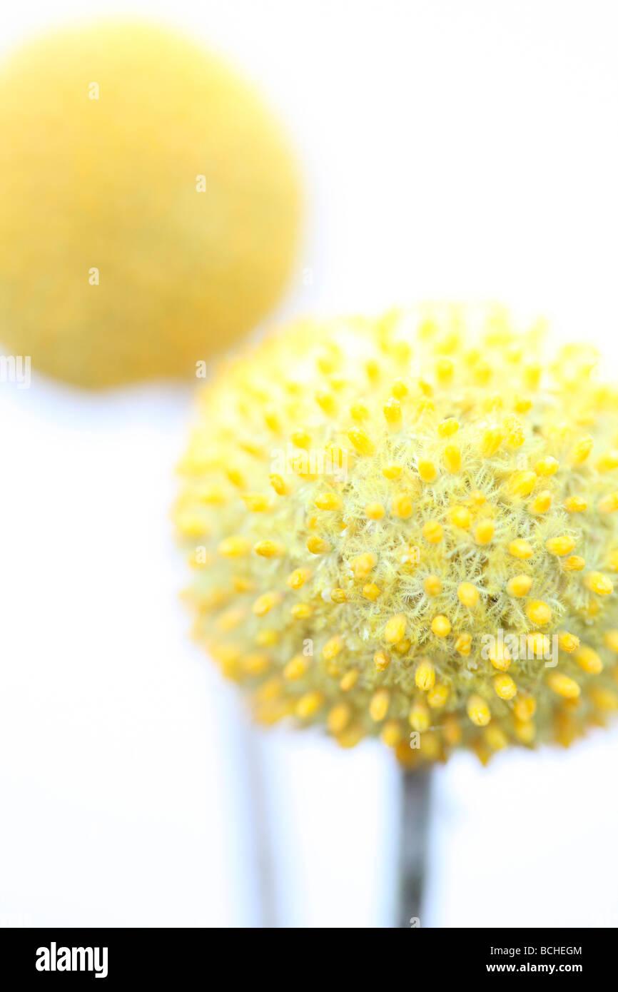 Minime et de droit pur de craspedias fine art photography Photographie Jane Ann Butler JABP410 Photo Stock