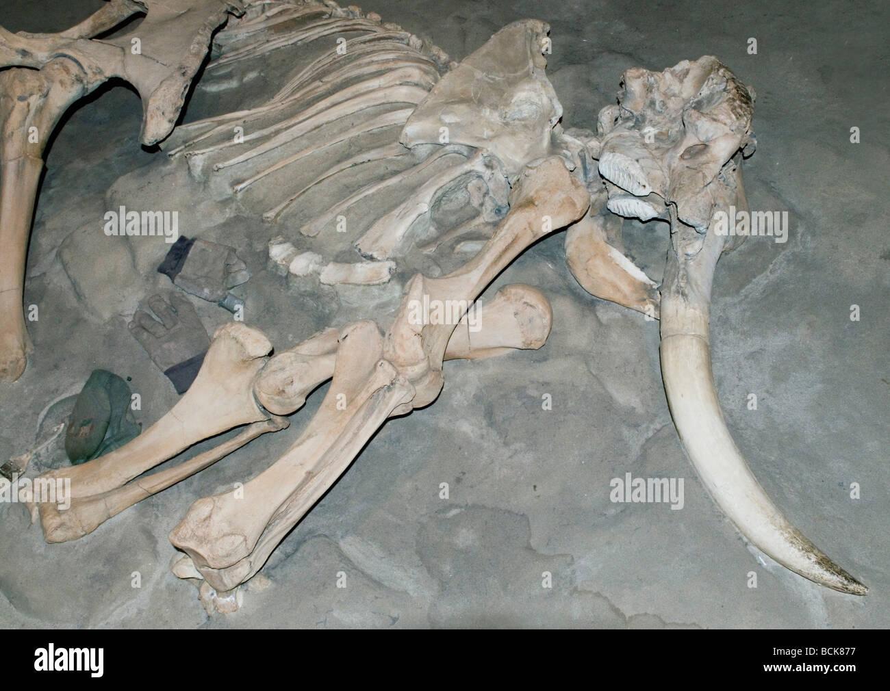 Channel Islands ou pygmée (mammouth Mammuthus exilis) de combustibles fossiles de mammifères du Pléistocène éteintes, Channel Islands, en Californie Banque D'Images