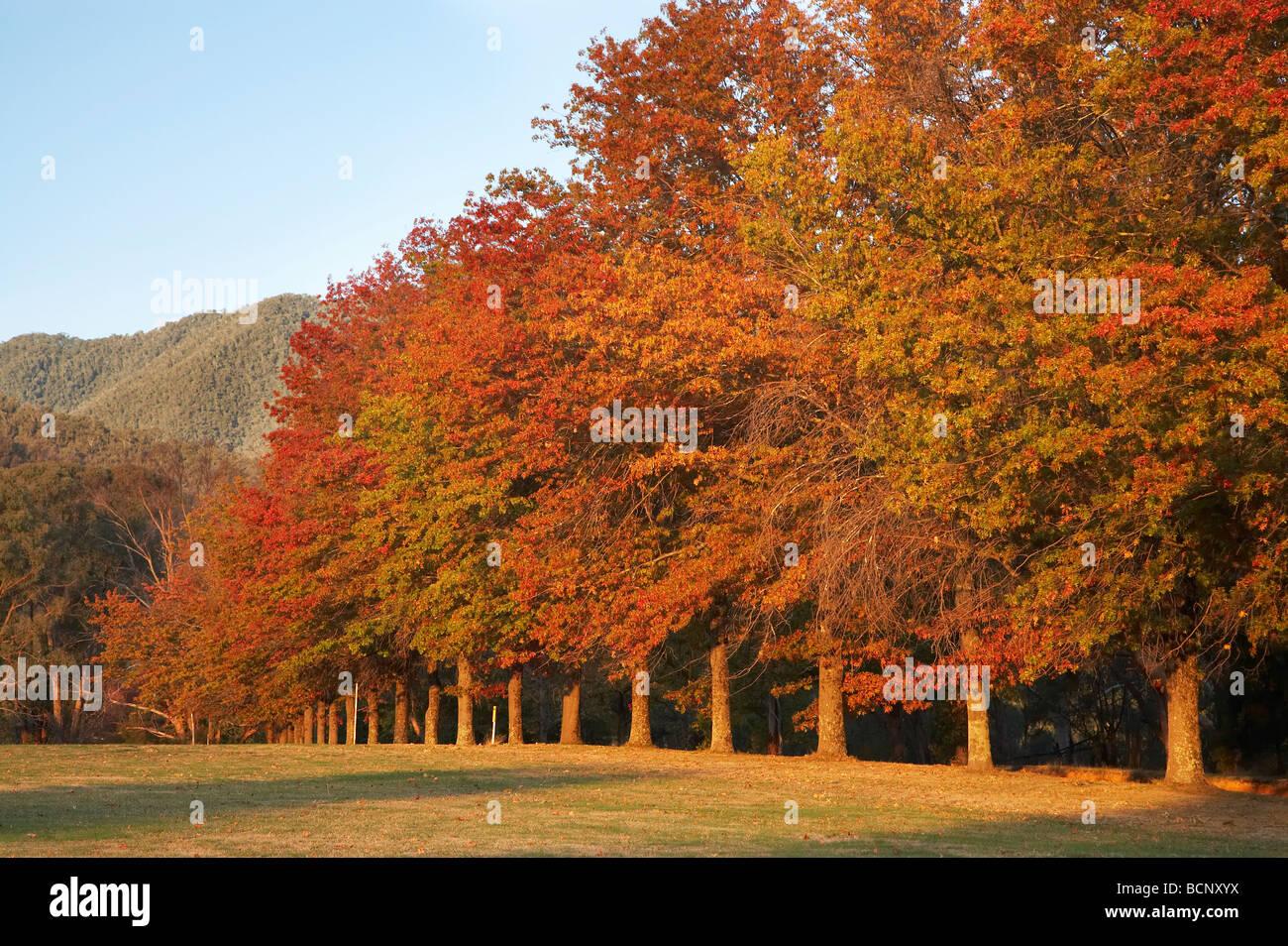 Les arbres d'automne Khancoban montagnes enneigées du sud de la Nouvelle-Galles du Sud Australie Banque D'Images