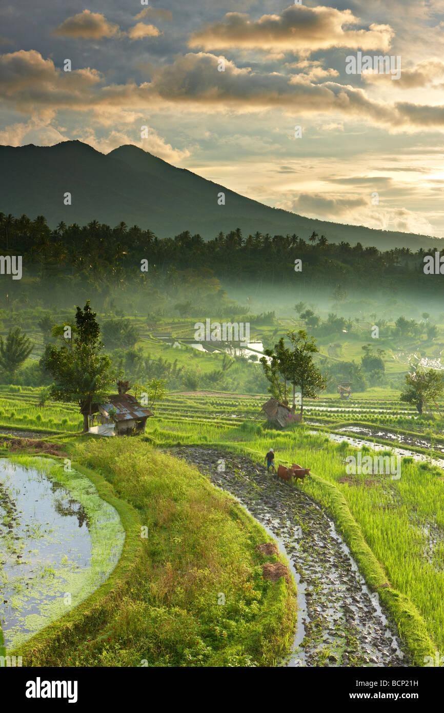 Ox conduit à la charrue les rizières en terrasses nr Tirtagangga à l'aube avec le pic volcanique Photo Stock