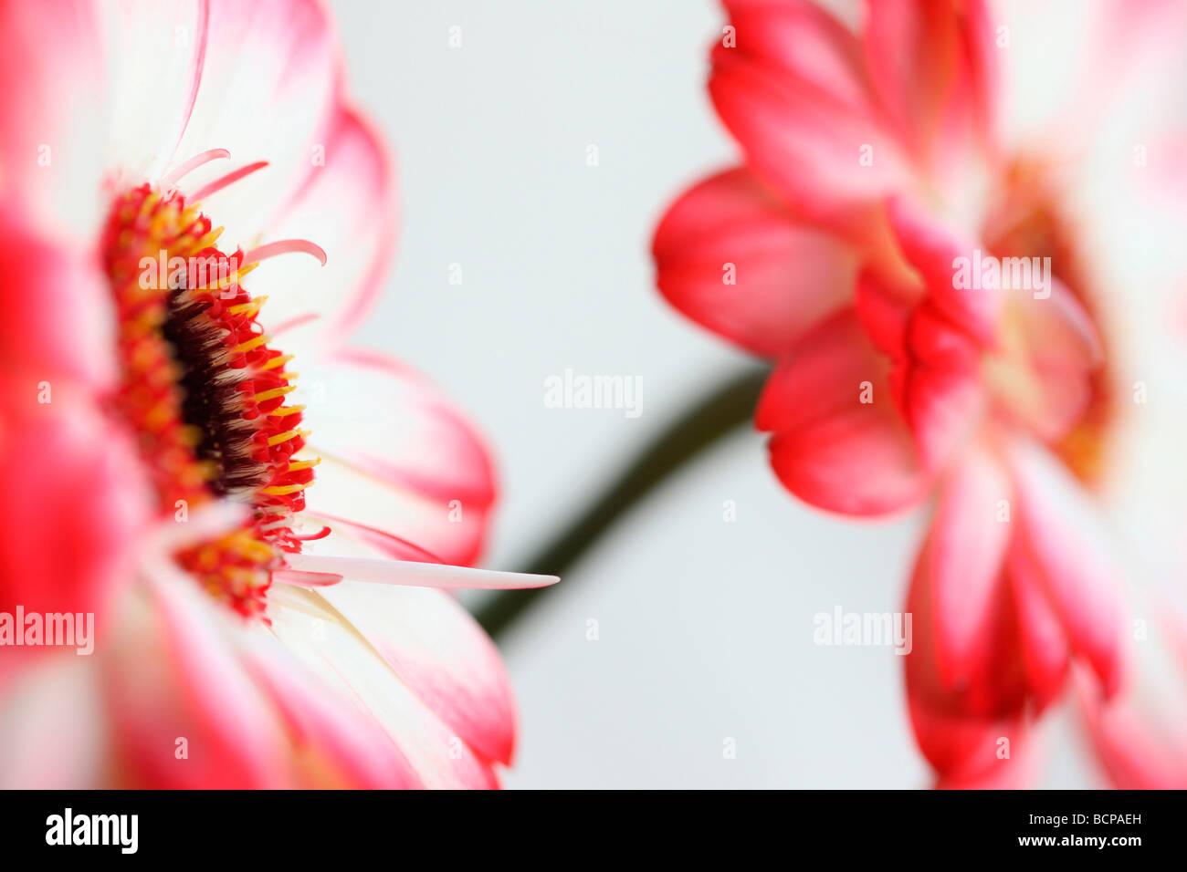 Frais et pur d'une image contemporaine à pointe rouge des gerberas fine art photography Photographie Jane Photo Stock