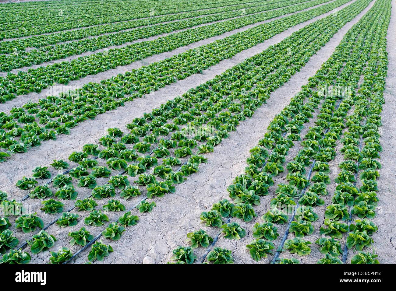 Laitue dans domaine ferme Alicante Espagne Photo Stock