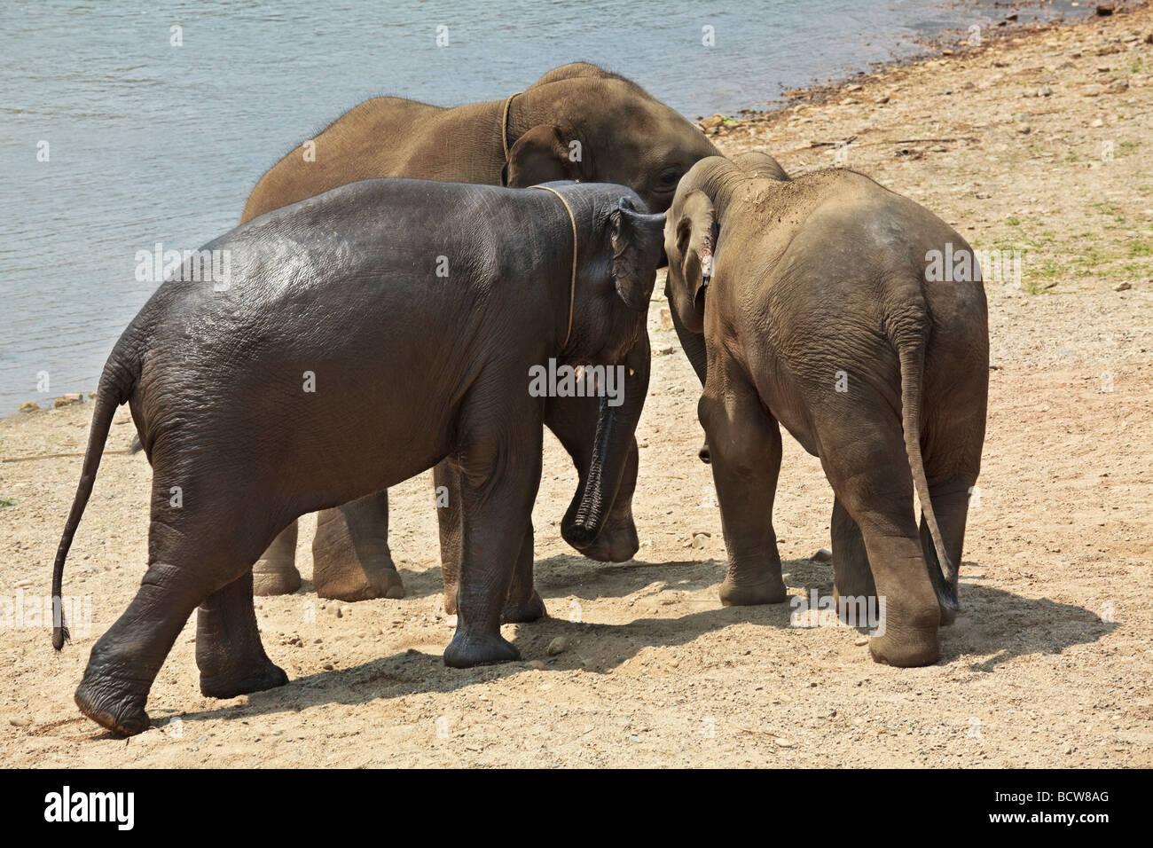Trois éléphants adultes semble être de faire des plans à côté d'une rivière Photo Stock