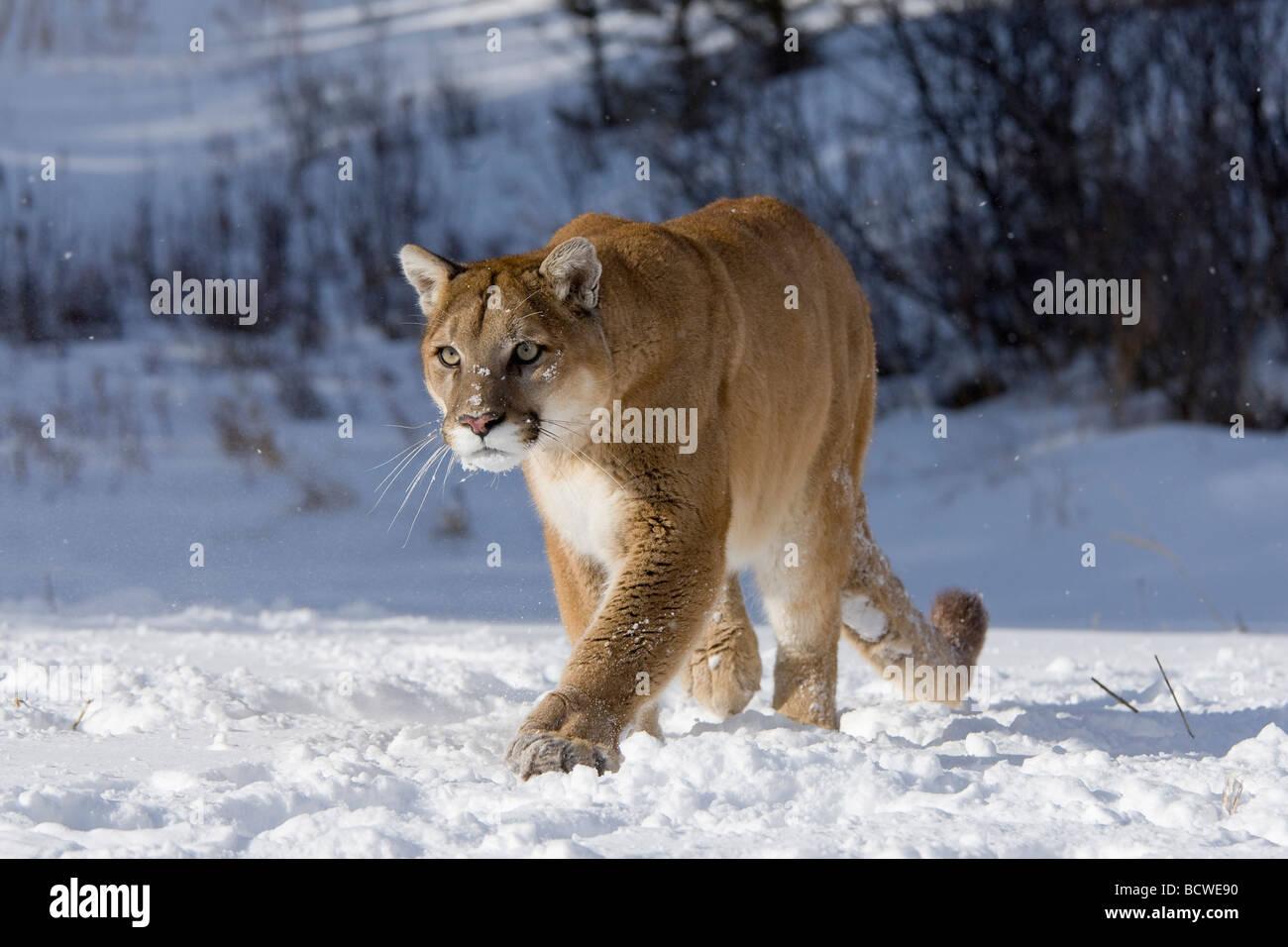 puma des neiges