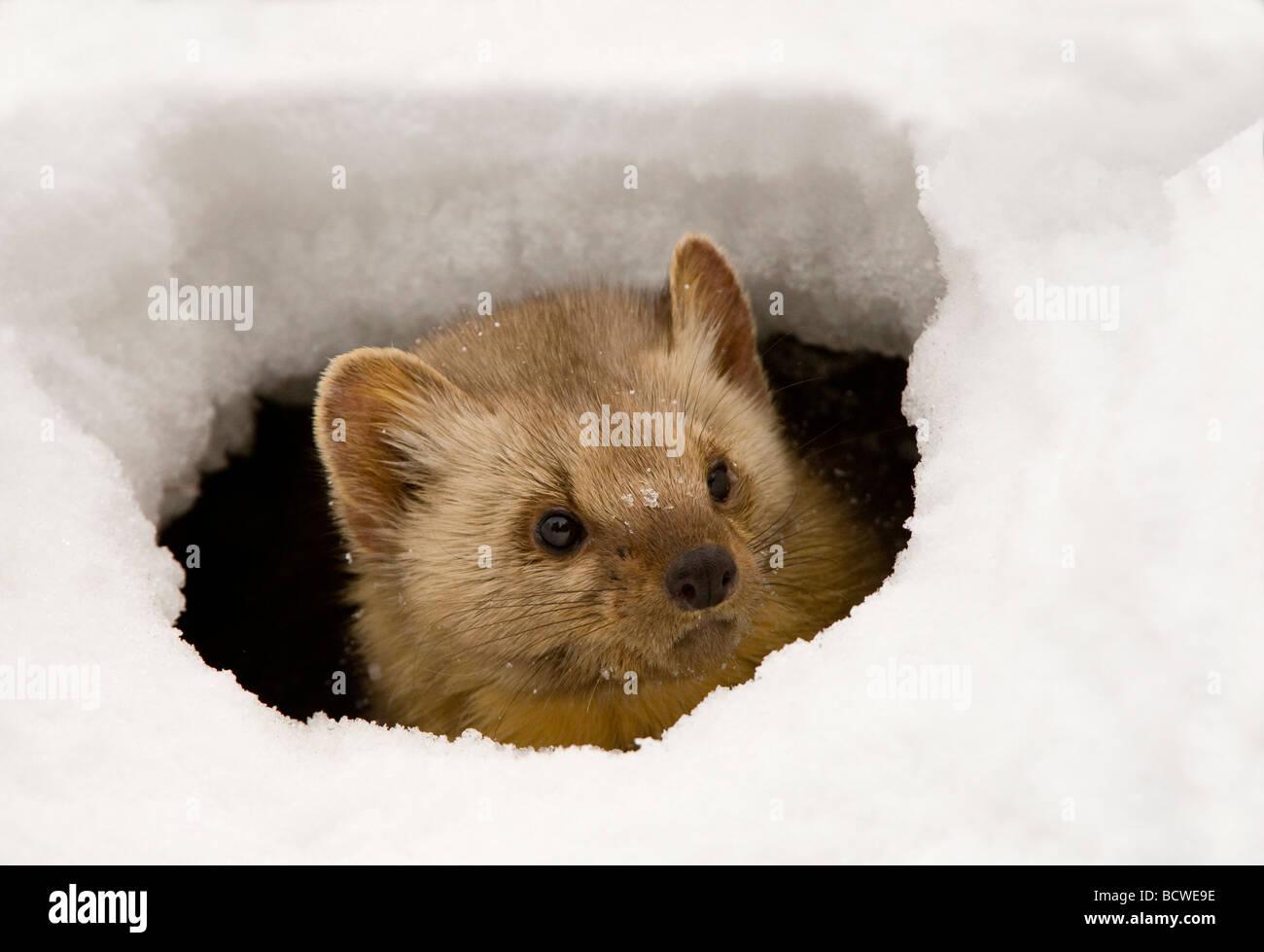 Martre des pins (Martens americana) peeking à partir d'un trou dans la glace Photo Stock