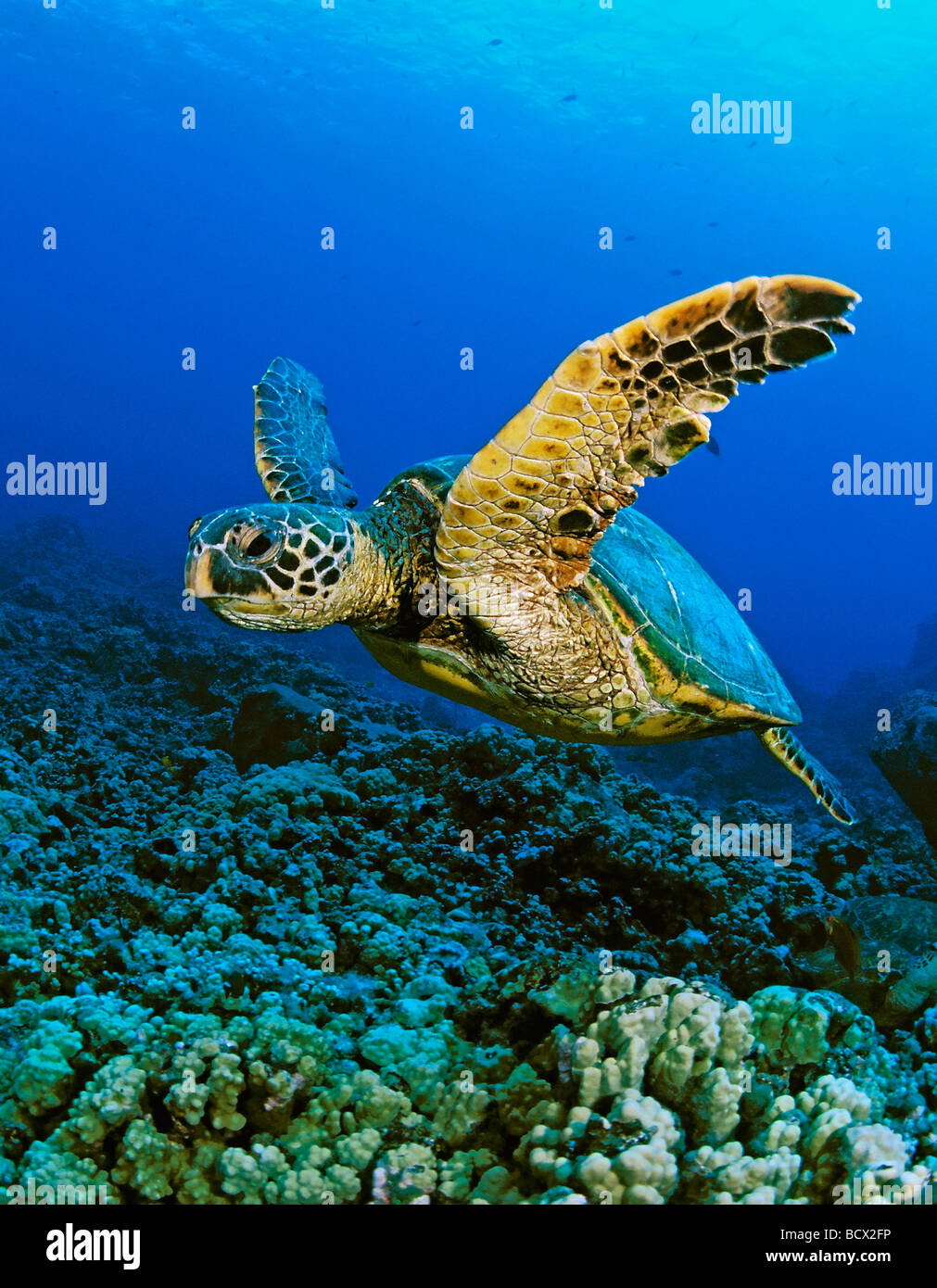 Tortue verte, Chelonia mydas, Hawaii, USA, Kona, Big Island, l'Océan Pacifique Photo Stock