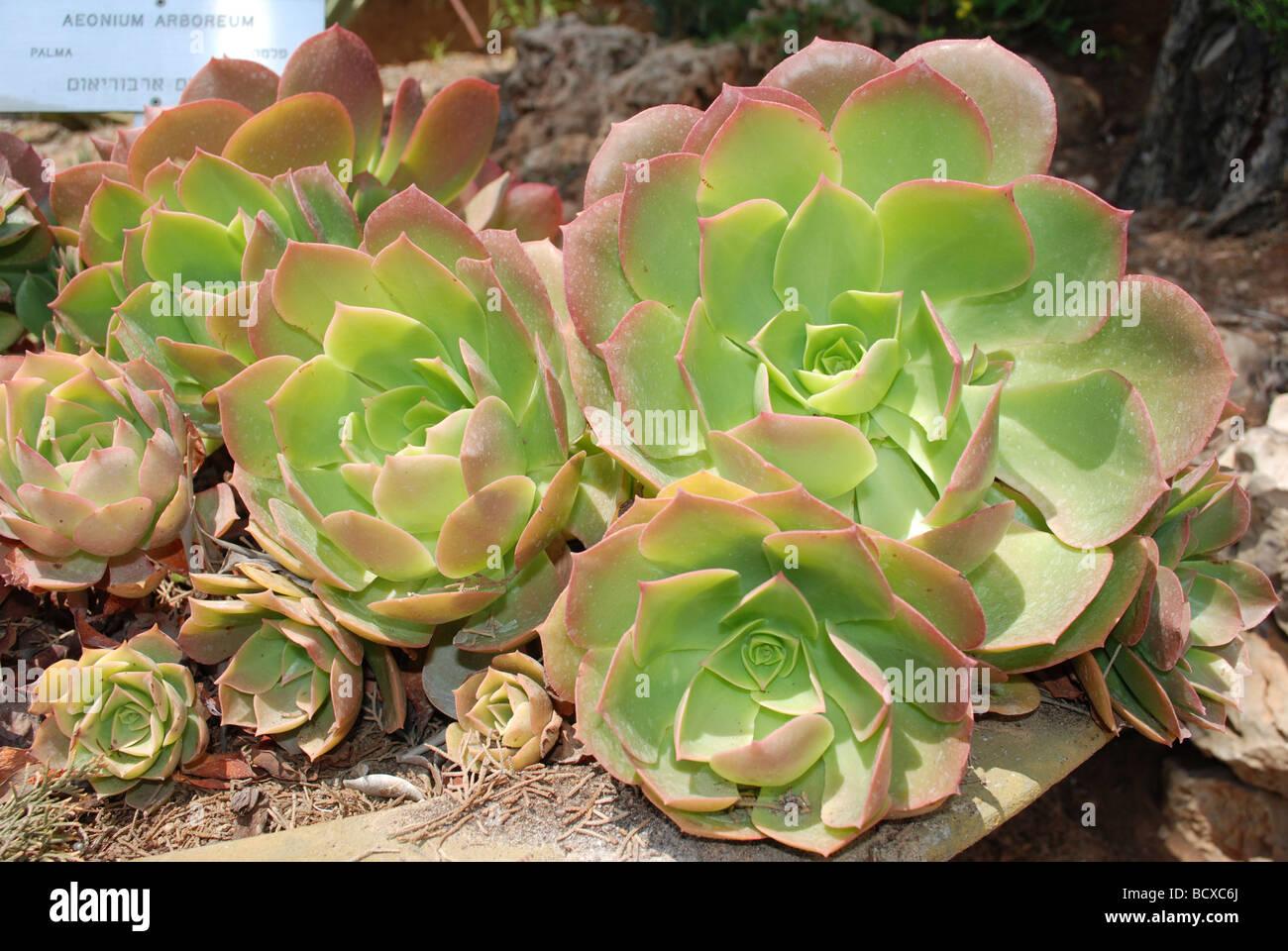 L'Aeonium Aeonium arboreum un arbre subtropical succulentes plantes du genre Aeonium et famille des Crassulaceae Banque D'Images