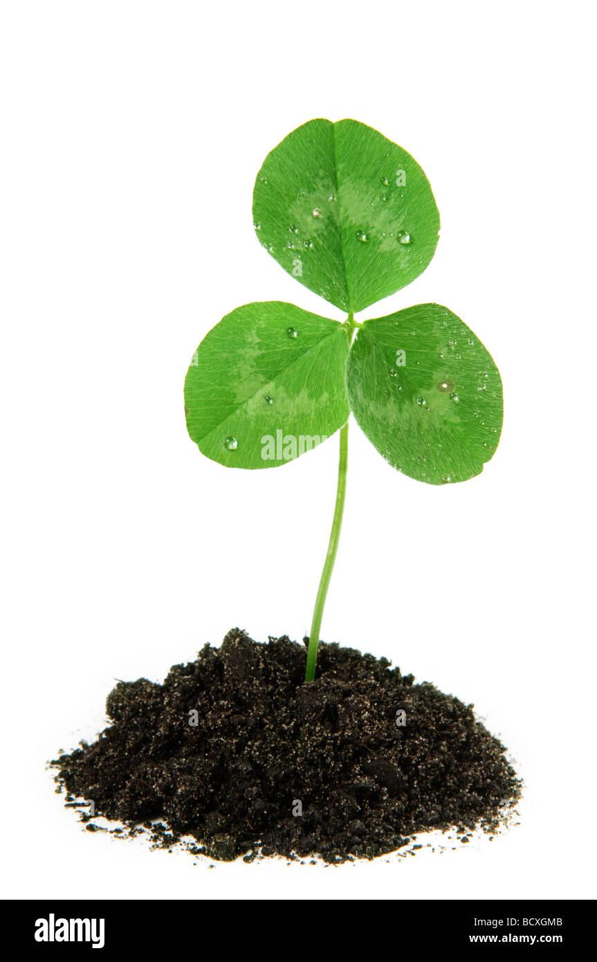 Clover plante poussant Nouveau concept de vie Photo Stock