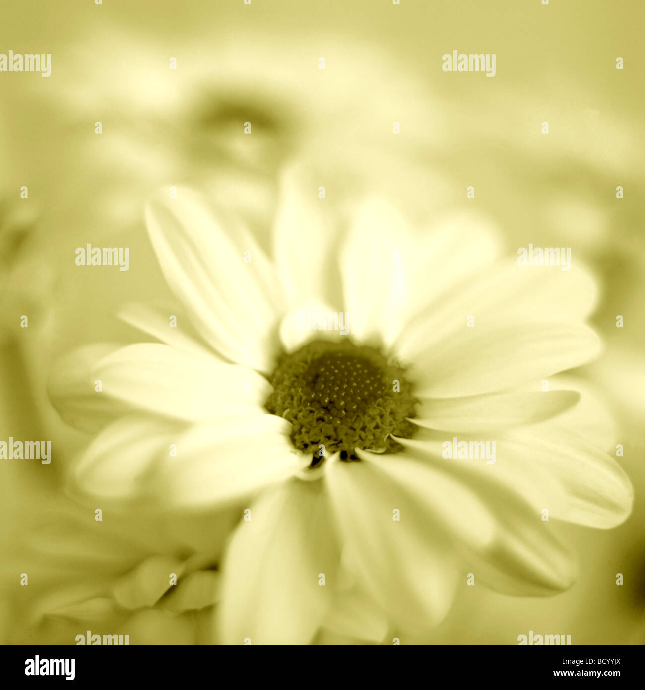 Chrysanthème féminin en duotone Jane Ann Butler Photography JABP318 Photo Stock