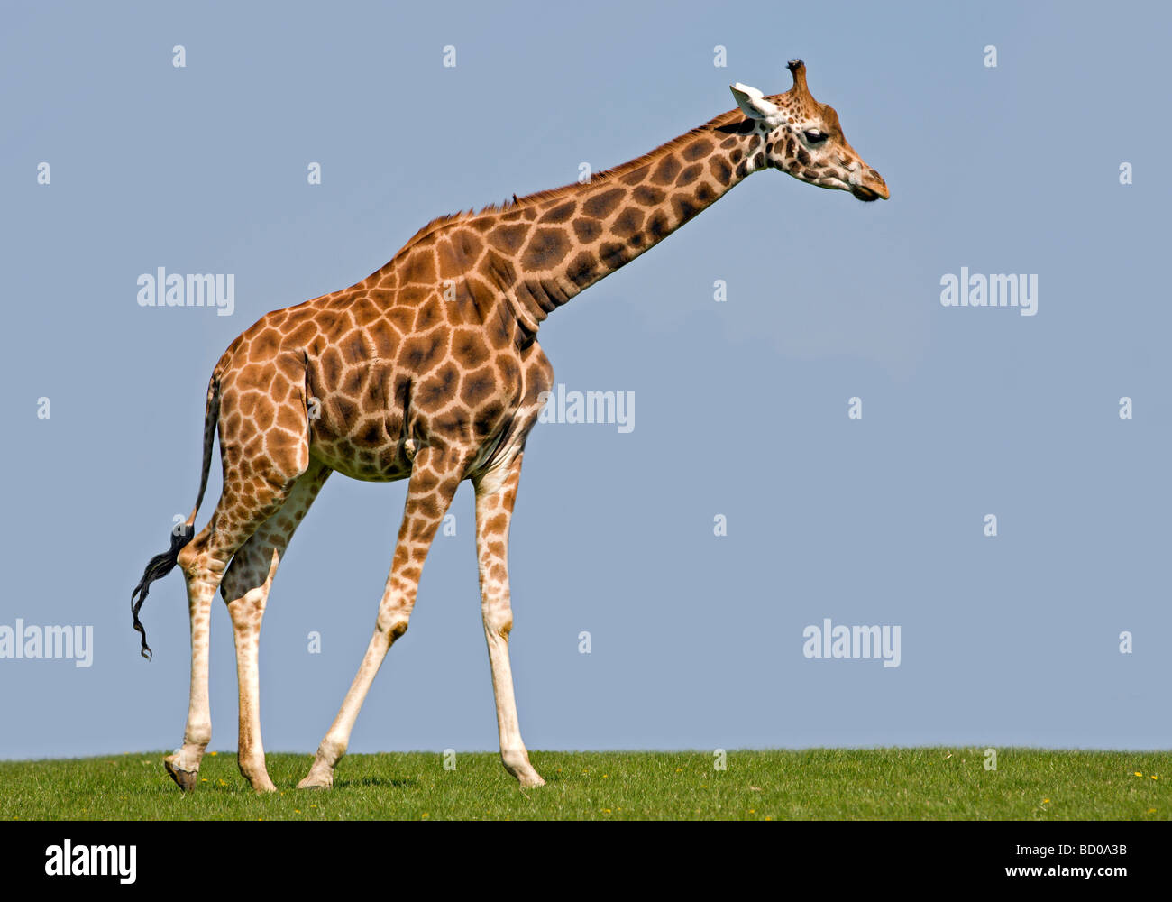 Girafe (Giraffa) camelopardarlis Photo Stock