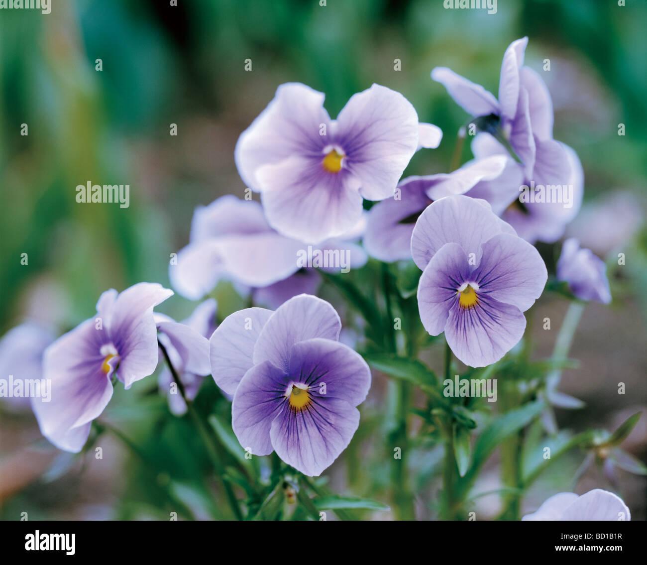 Violet Banque D'Images