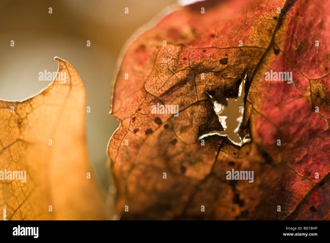 Feuilles séchées avec des trous, extreme close-up Photo Stock