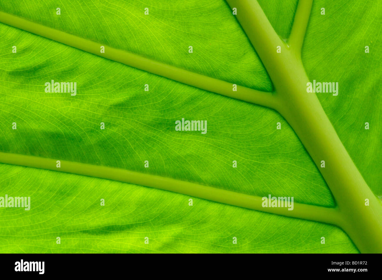 Détail de feuille verte dans la chambre à l'Université de Cambridge tropical Botanical Gardens, Photo Stock
