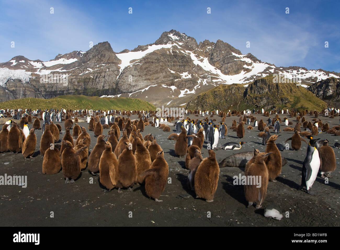 Le manchot royal Aptenodytes patagonicus sur la plage de Gold Harbour Antarctique Géorgie du Sud Banque D'Images
