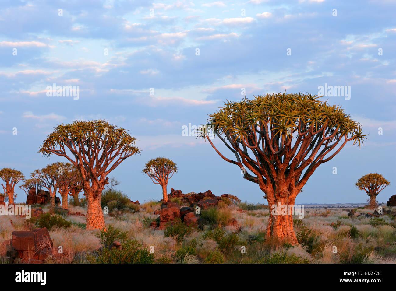 Paysage désertique avec des roches de granit et d'arbres carquois (Aloe dichotoma), Namibie, Afrique du Photo Stock