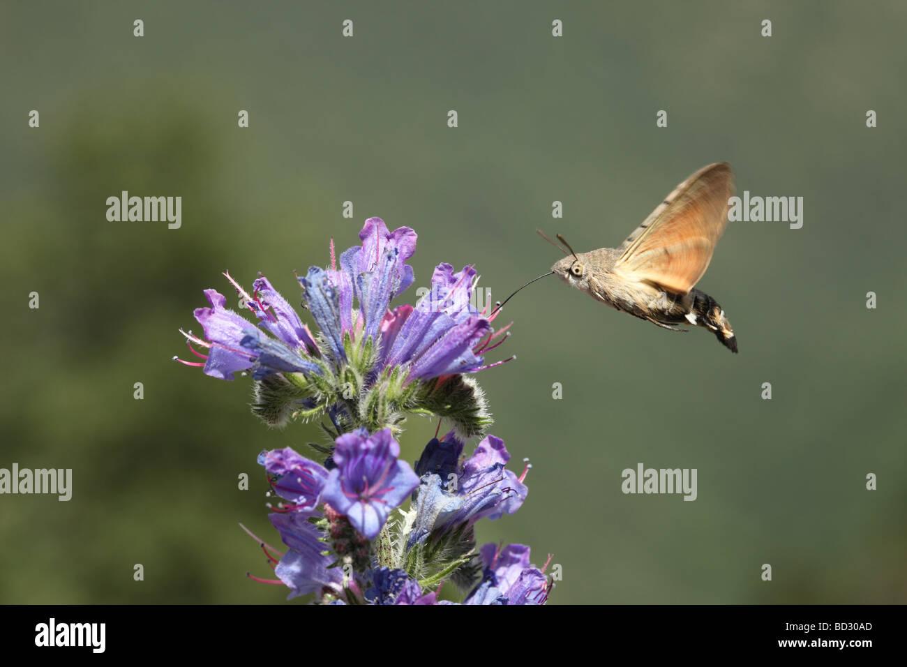 Humming-Bird Hawk-Moth Macroglossum Stellatarum se nourrissant d'Echium vulgare Vipérine commune Photo Stock