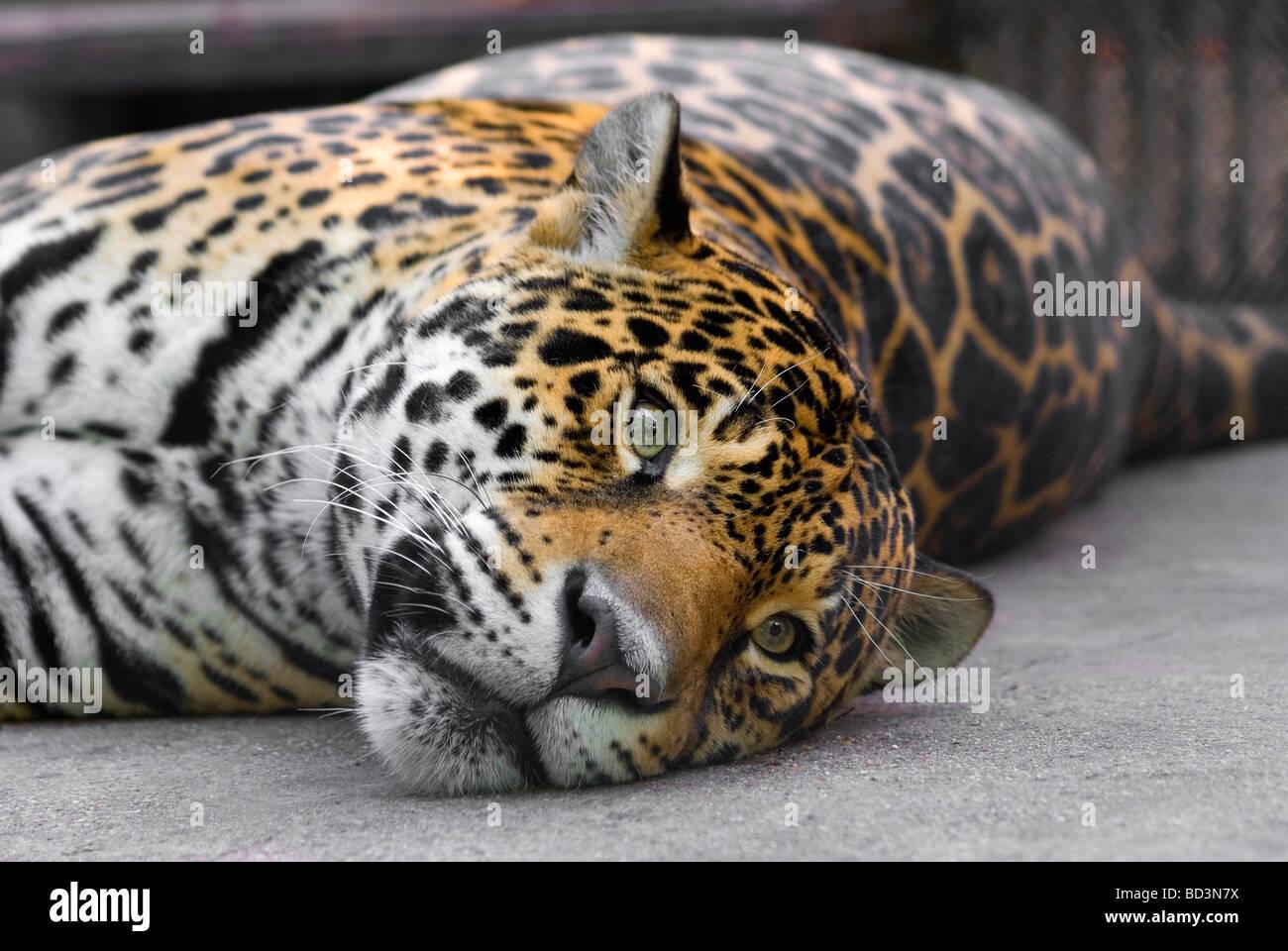 Se prélassant léopard Photo Stock