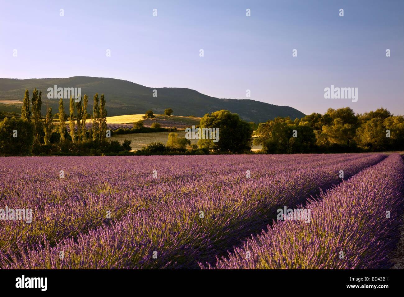 Champ de lavande, avec des collines et les terres agricoles au-delà près de Sault, Provence France Photo Stock