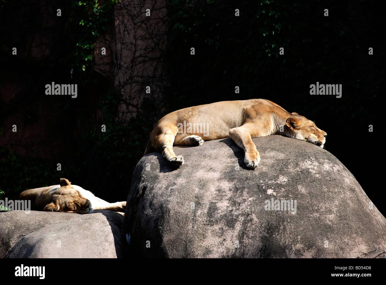 Les lions paresseux au Lincoln Park Zoo Photo Stock