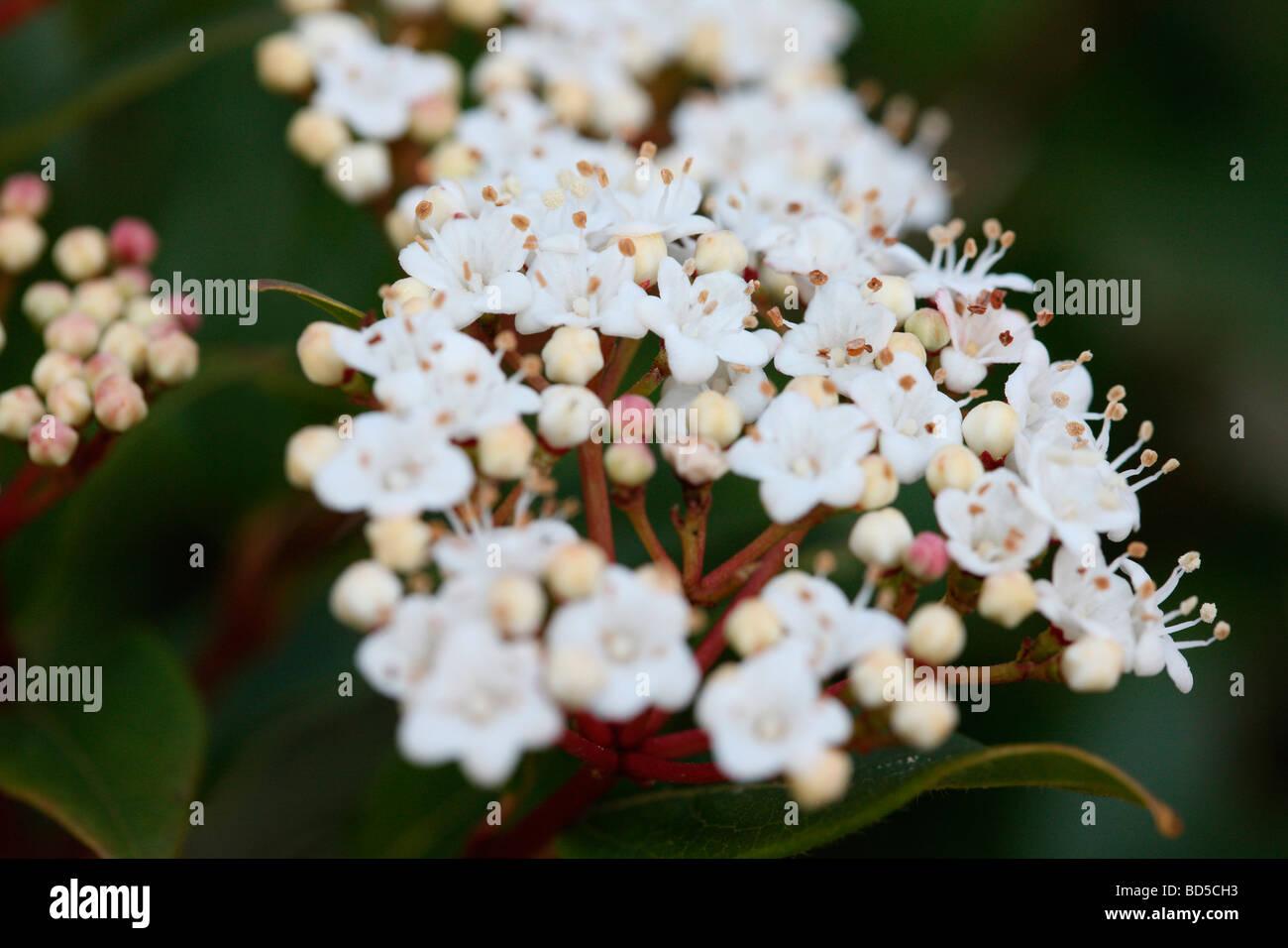 Viorne à feuilles persistantes bourgeons rose avec des grappes de fleurs blanc fine art photography Photographie Photo Stock