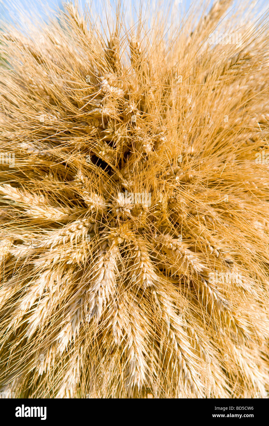 Tas de blé comme arrière-plan Photo Stock