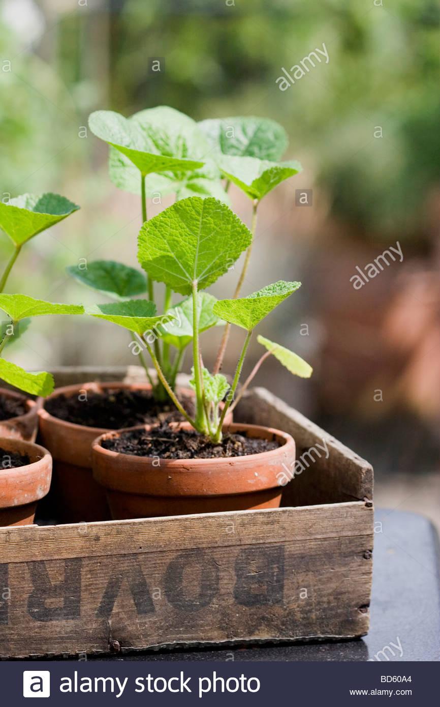 Les Jeunes Plantes Rose Tremiere En Pots De Terre Cuite Dans Une