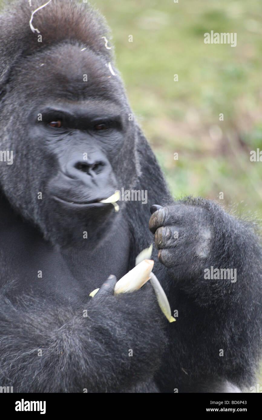 un gorille heureux manger une banane banque d 39 images photo stock 25349971 alamy. Black Bedroom Furniture Sets. Home Design Ideas