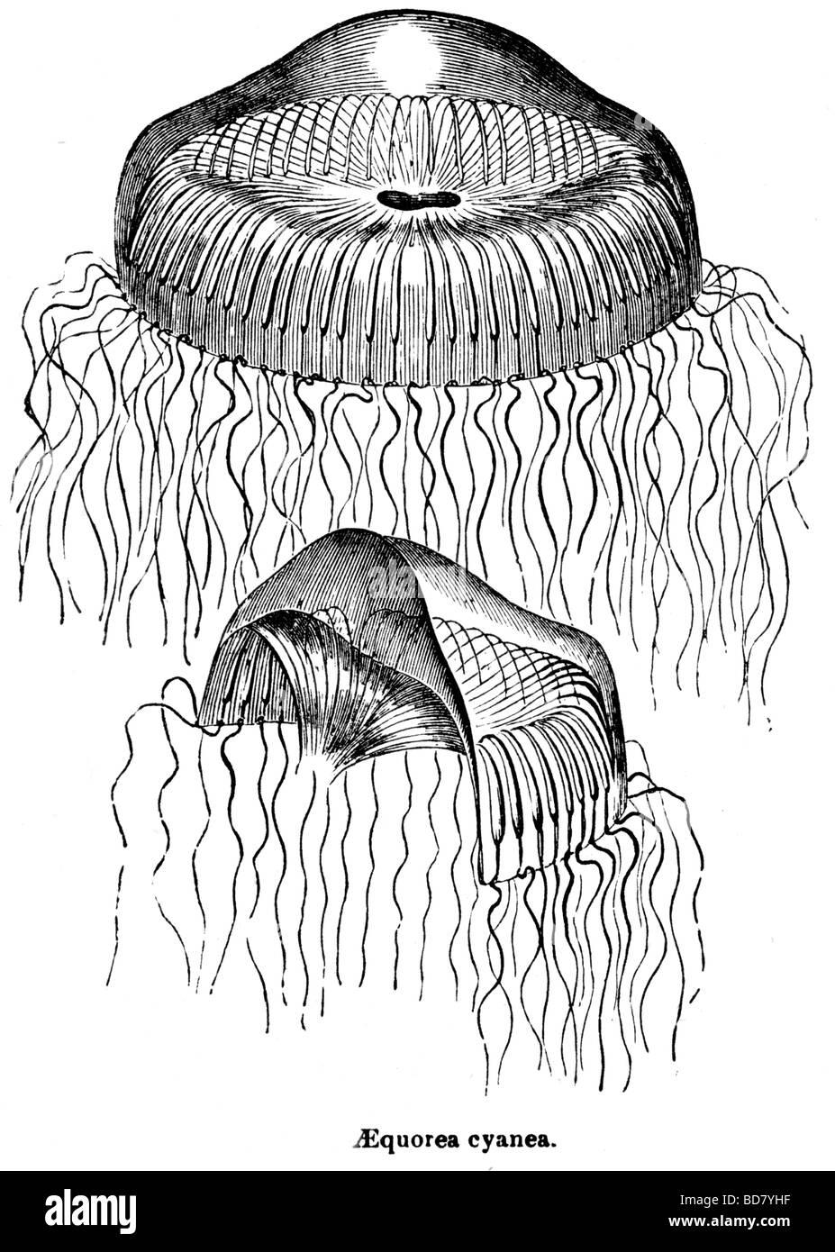 La méduse Aequorea cyanea Banque D'Images