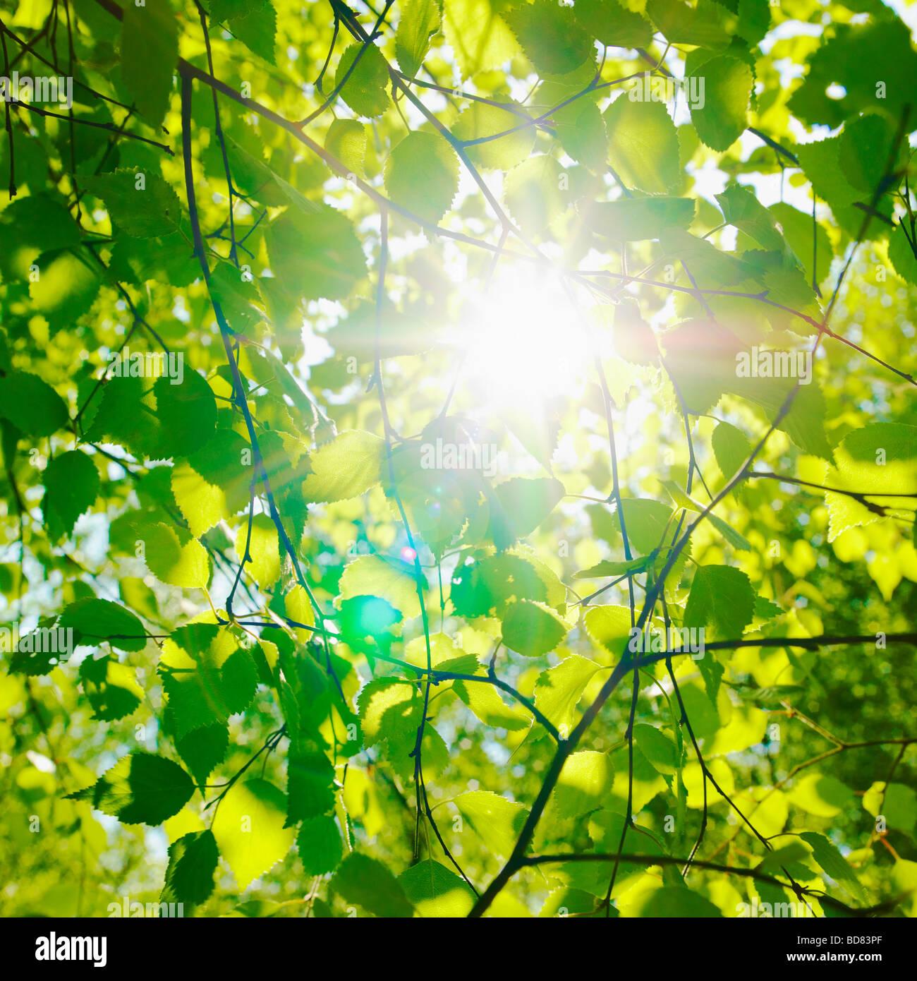 Reflets du soleil à travers feuilles de Hêtre au printemps. ( Fagus sylvatica ) Photo Stock