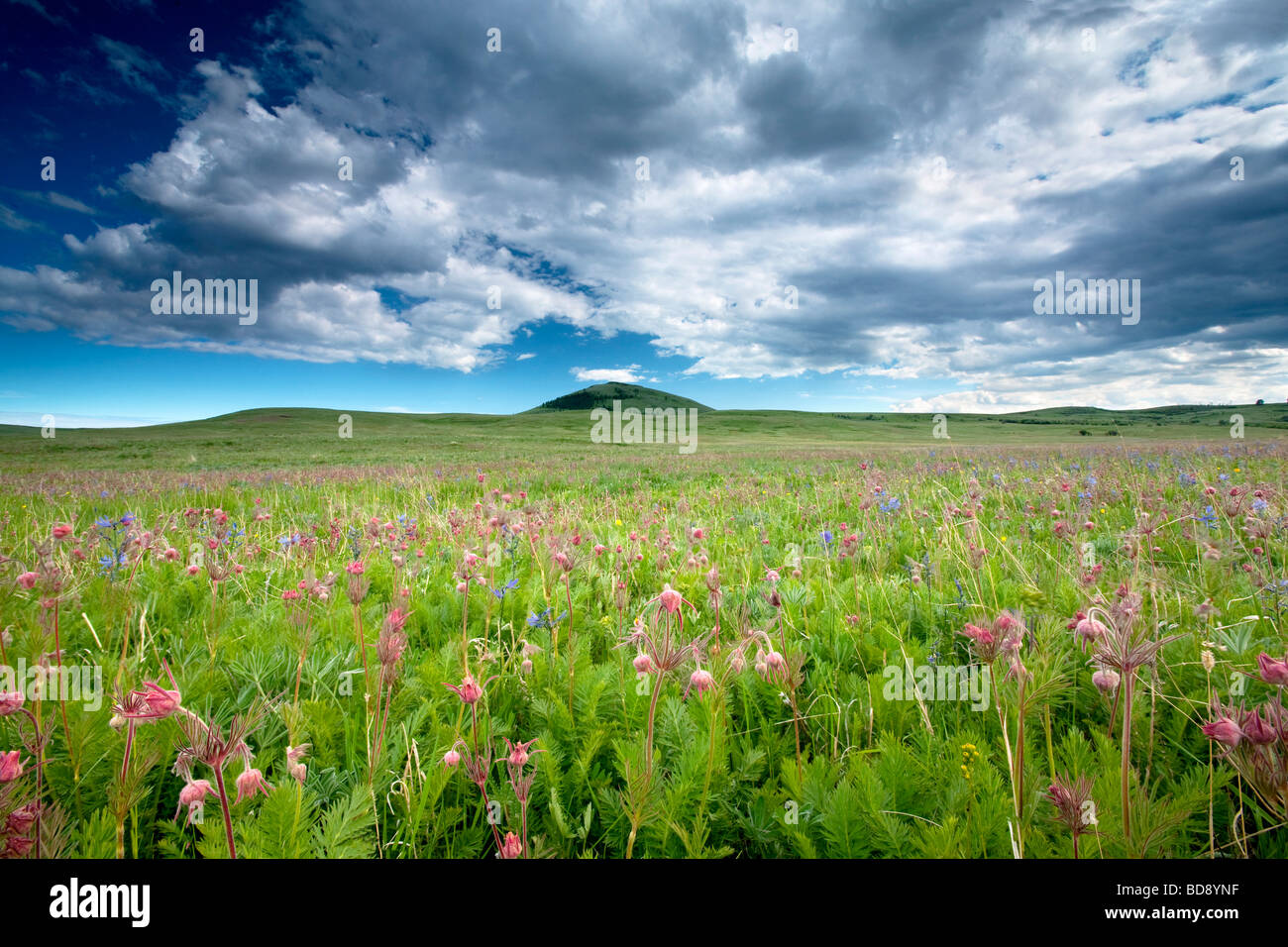 Avec la plupart des prairies Zumwalt fumée Geum triflorum fleurs sauvages des Prairies Prairie Zumwalt Oregon Photo Stock