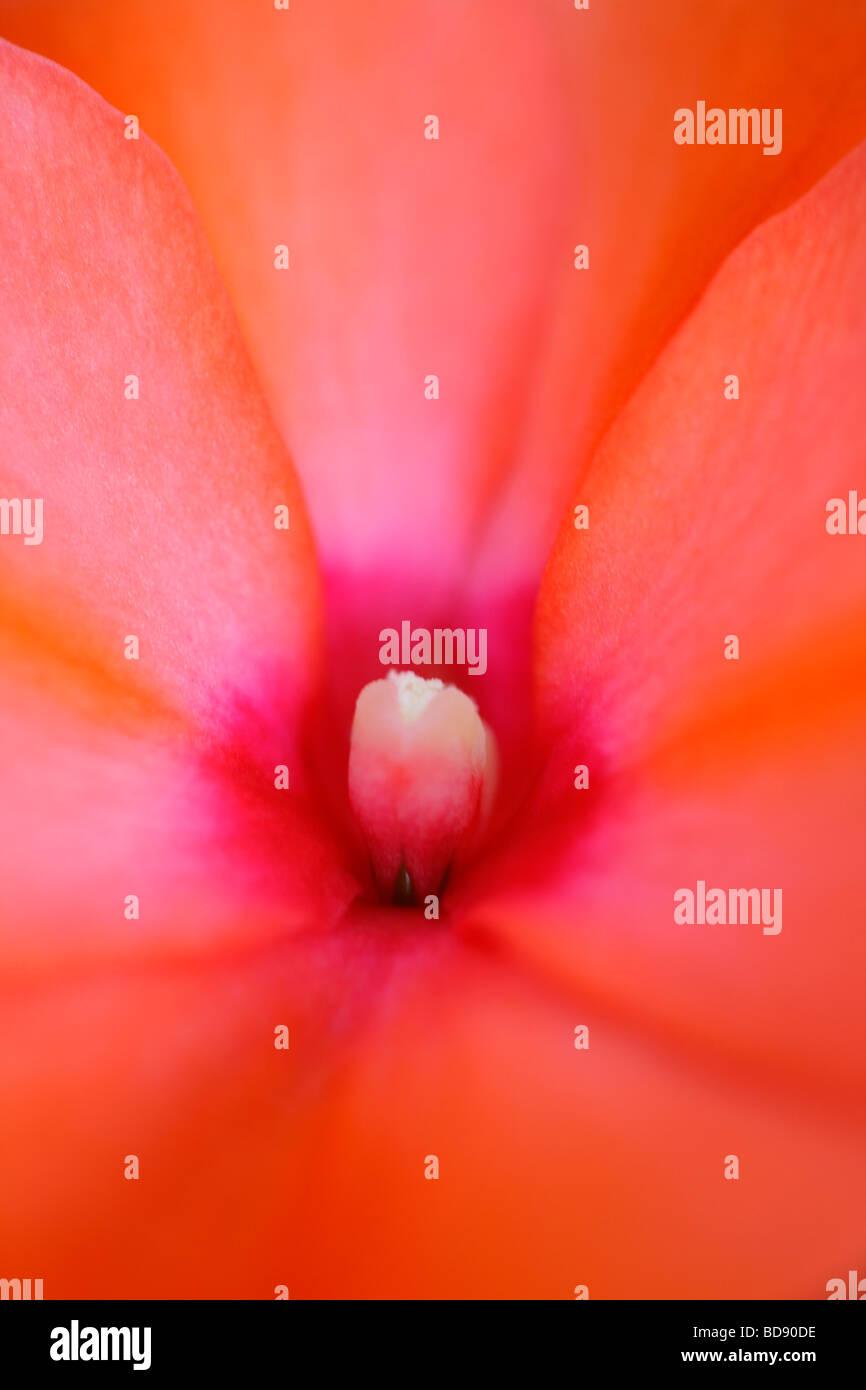Superbe fleur orange impatien fine art photography Photographie Jane Ann Butler JABP539 Photo Stock