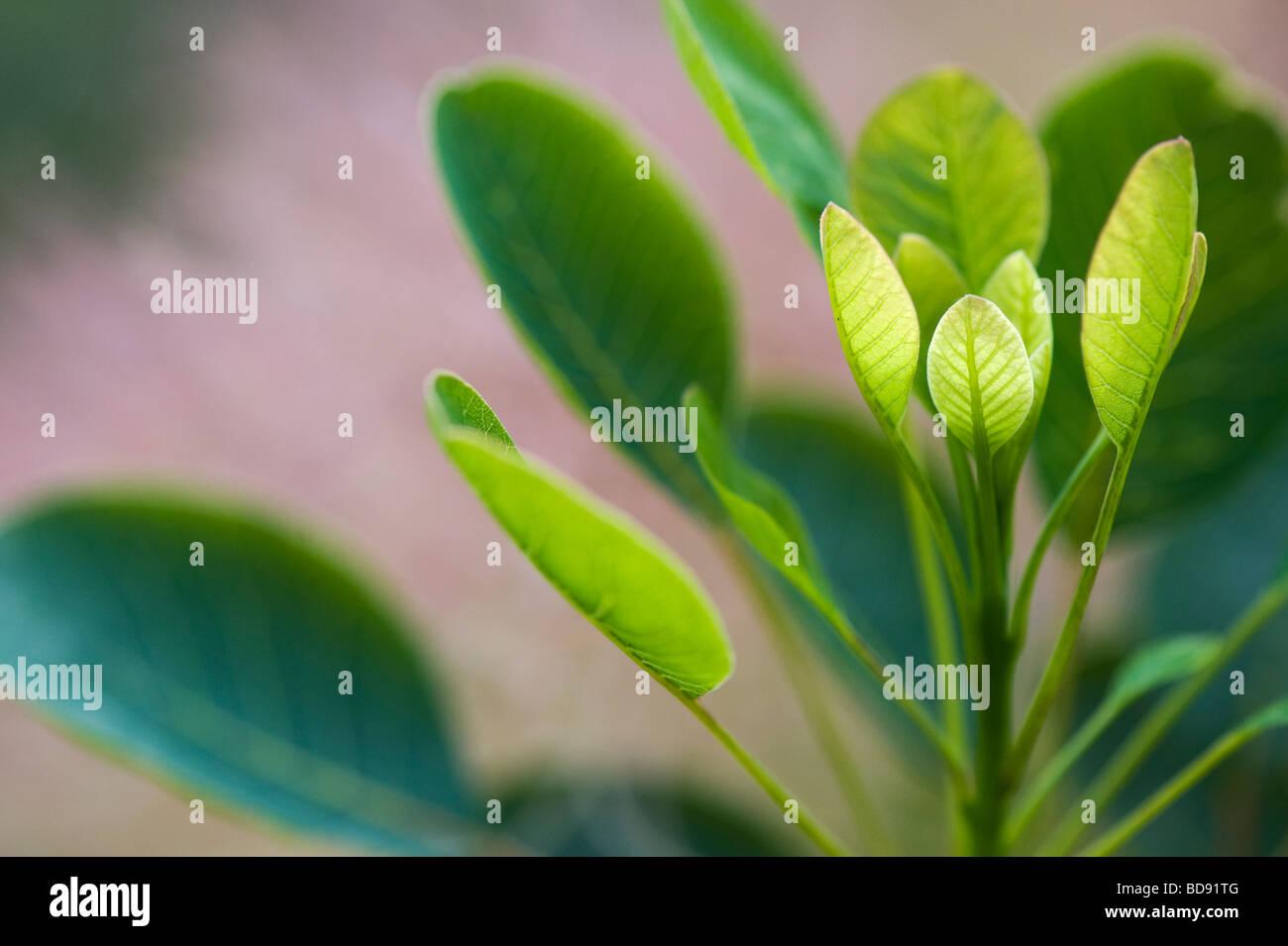 Prunus serrula 'Golden Spirit' . Bush fumée 'Golden Spirit' quitte Photo Stock