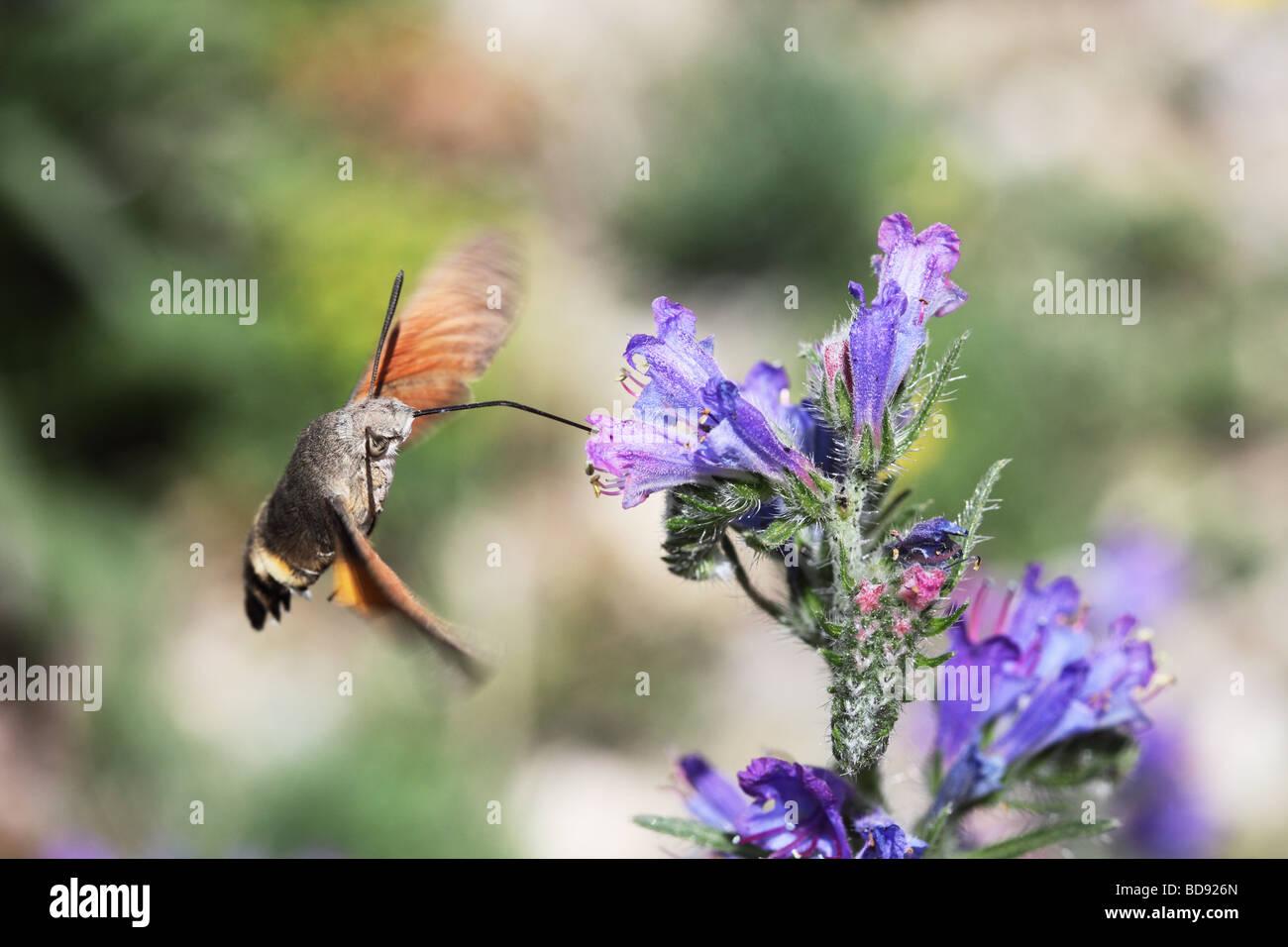 Humming-Bird Hawk-Moth Macroglossum Stellatarum se nourrissant d'Echium vulgare Vipérine commune s Viper Photo Stock