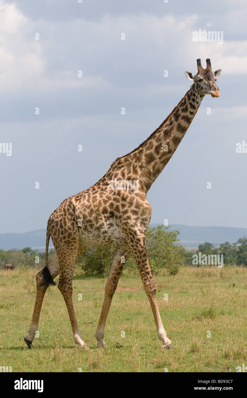girafe Photo Stock