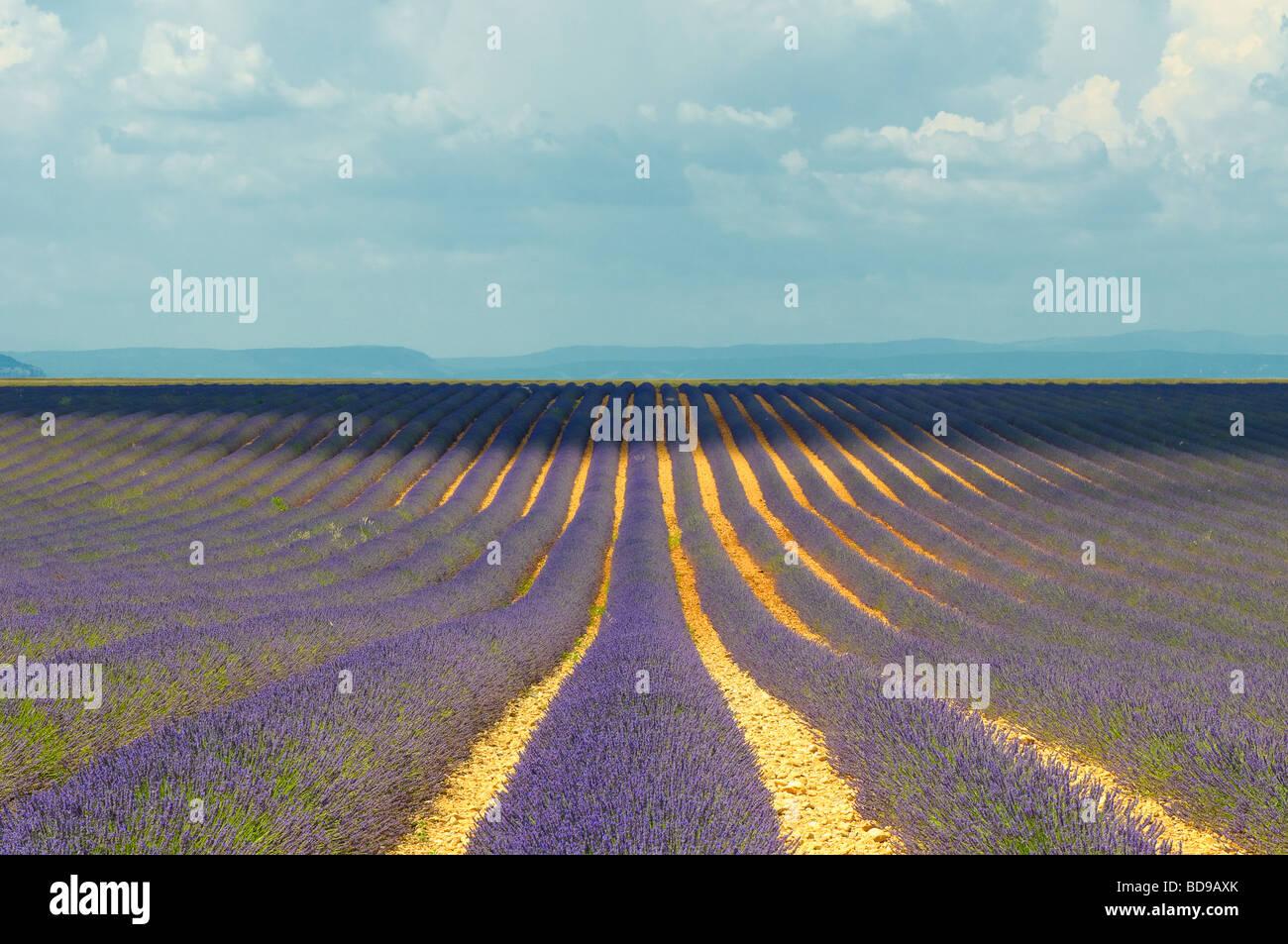 Champ de lavande Provence France Photo Stock