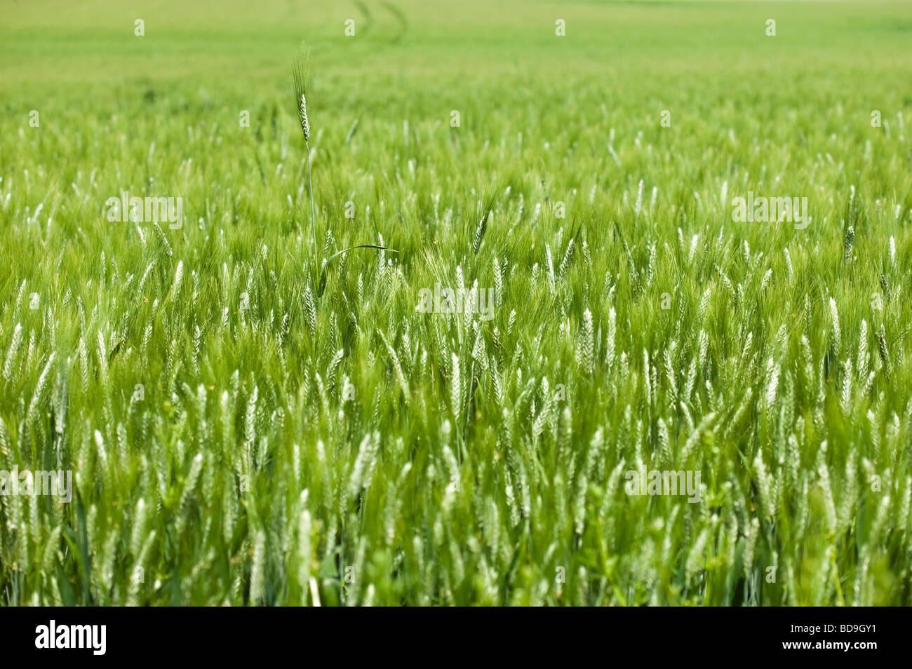 Champ de blé au printemps . une oreille hors de la masse Photo Stock