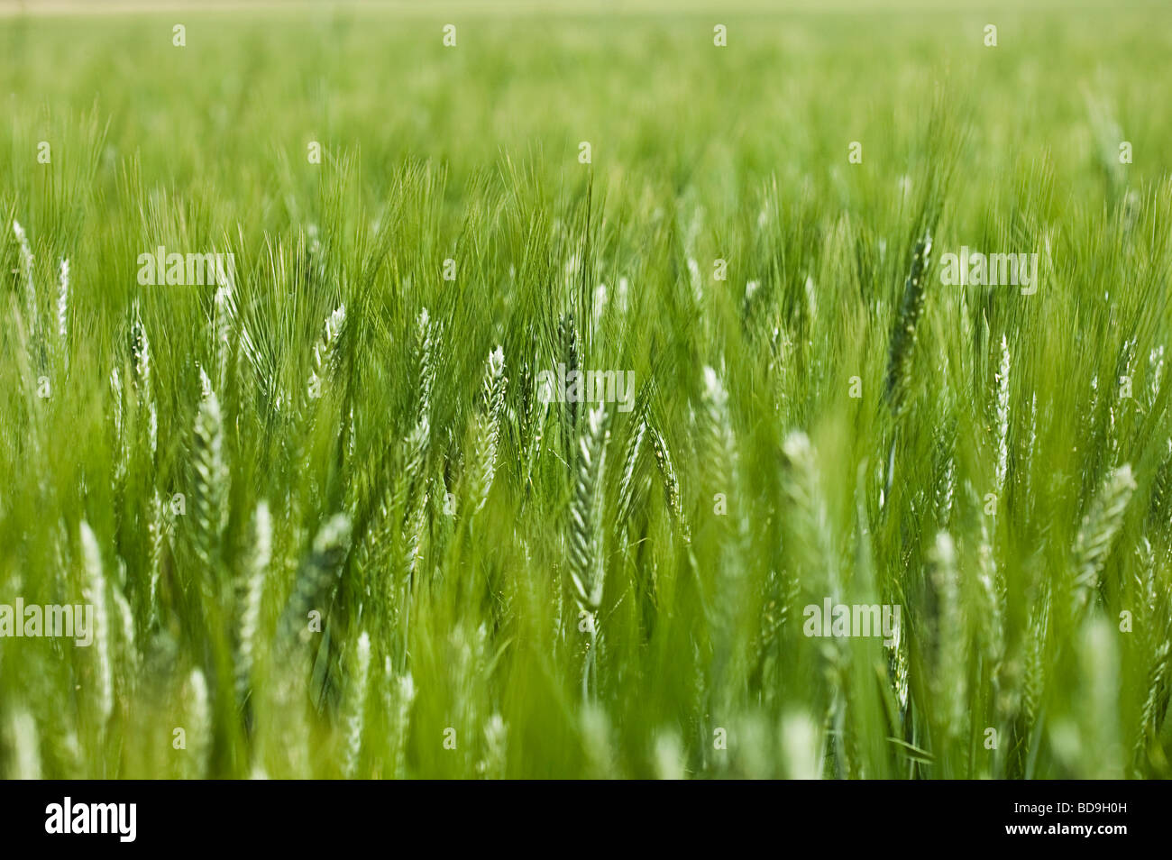 Libre de blés Photo Stock
