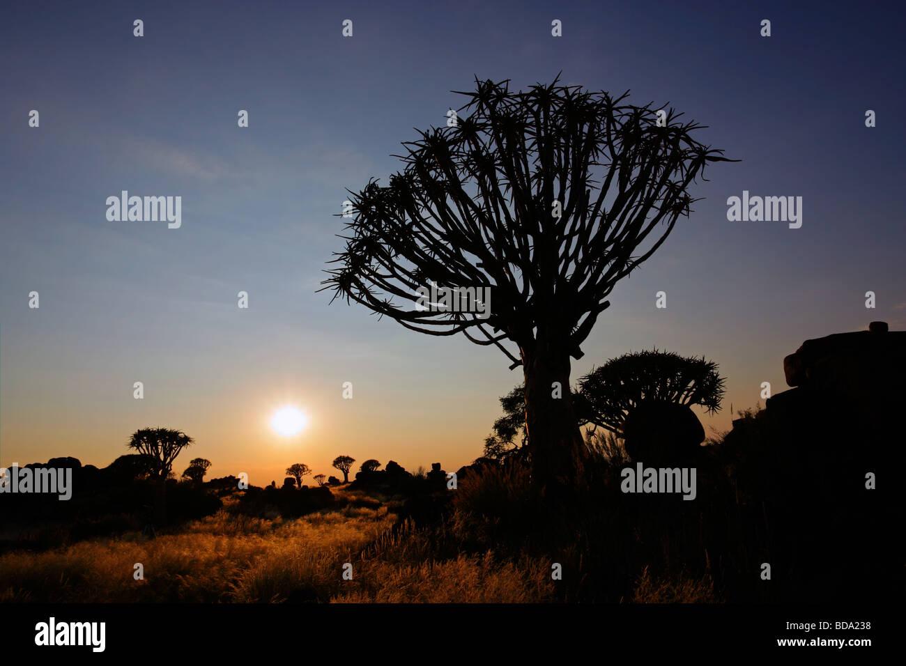 Silhouette d'un carquois arbres (Aloe dichotoma) au lever du soleil, la Namibie, l'Afrique du Sud Photo Stock